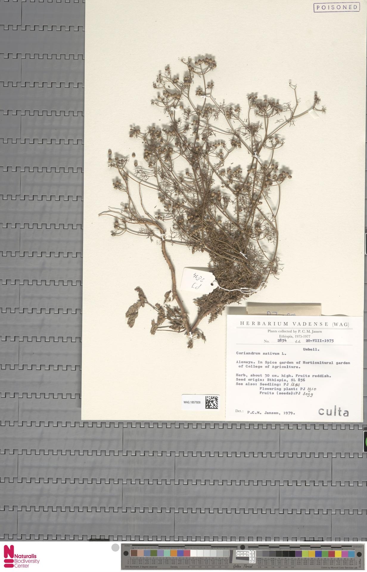 WAG.1857926 | Coriandrum sativum L.