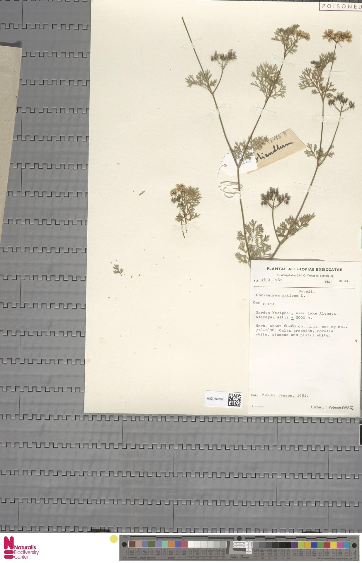 WAG.1857927 | Coriandrum sativum L.
