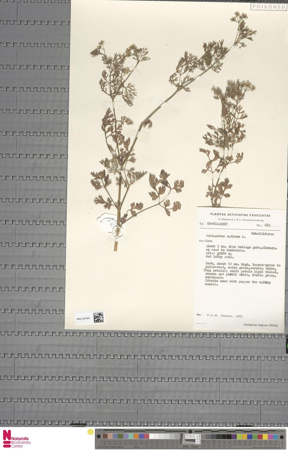 WAG.1857932 | Coriandrum sativum L.