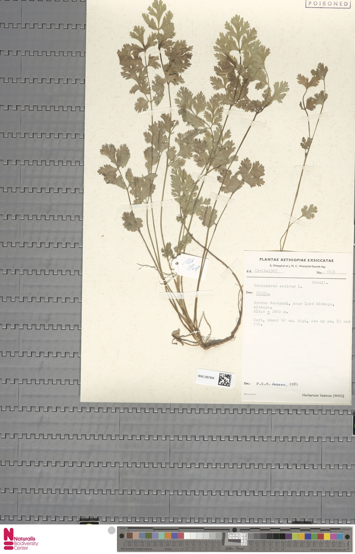 WAG.1857934 | Coriandrum sativum L.