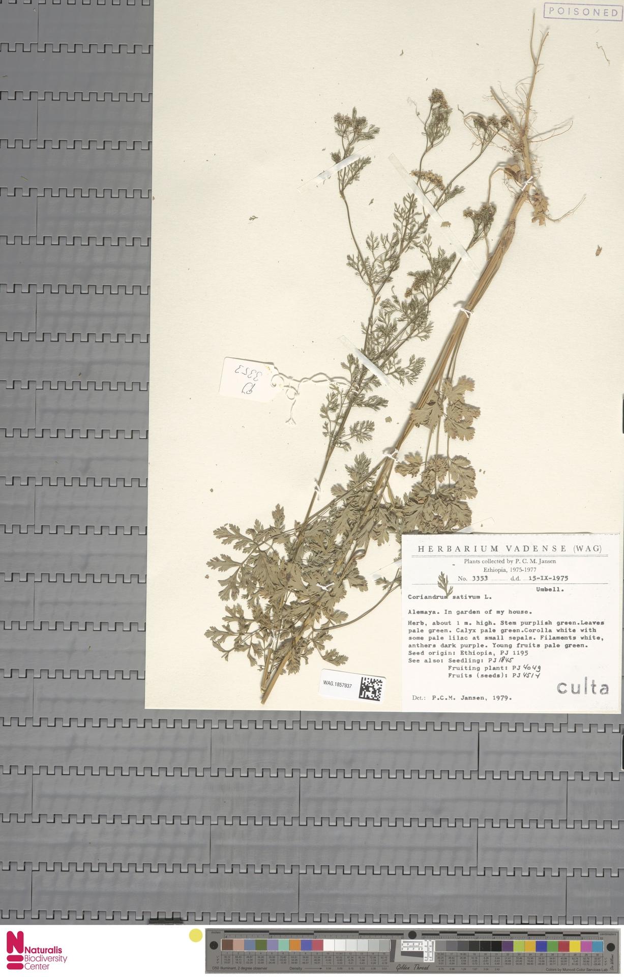 WAG.1857937 | Coriandrum sativum L.