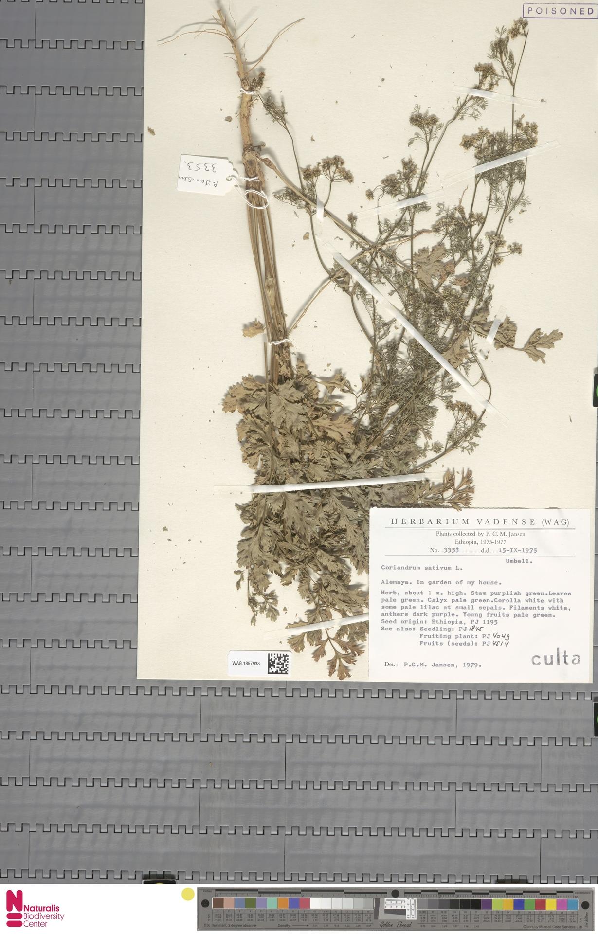 WAG.1857938 | Coriandrum sativum L.
