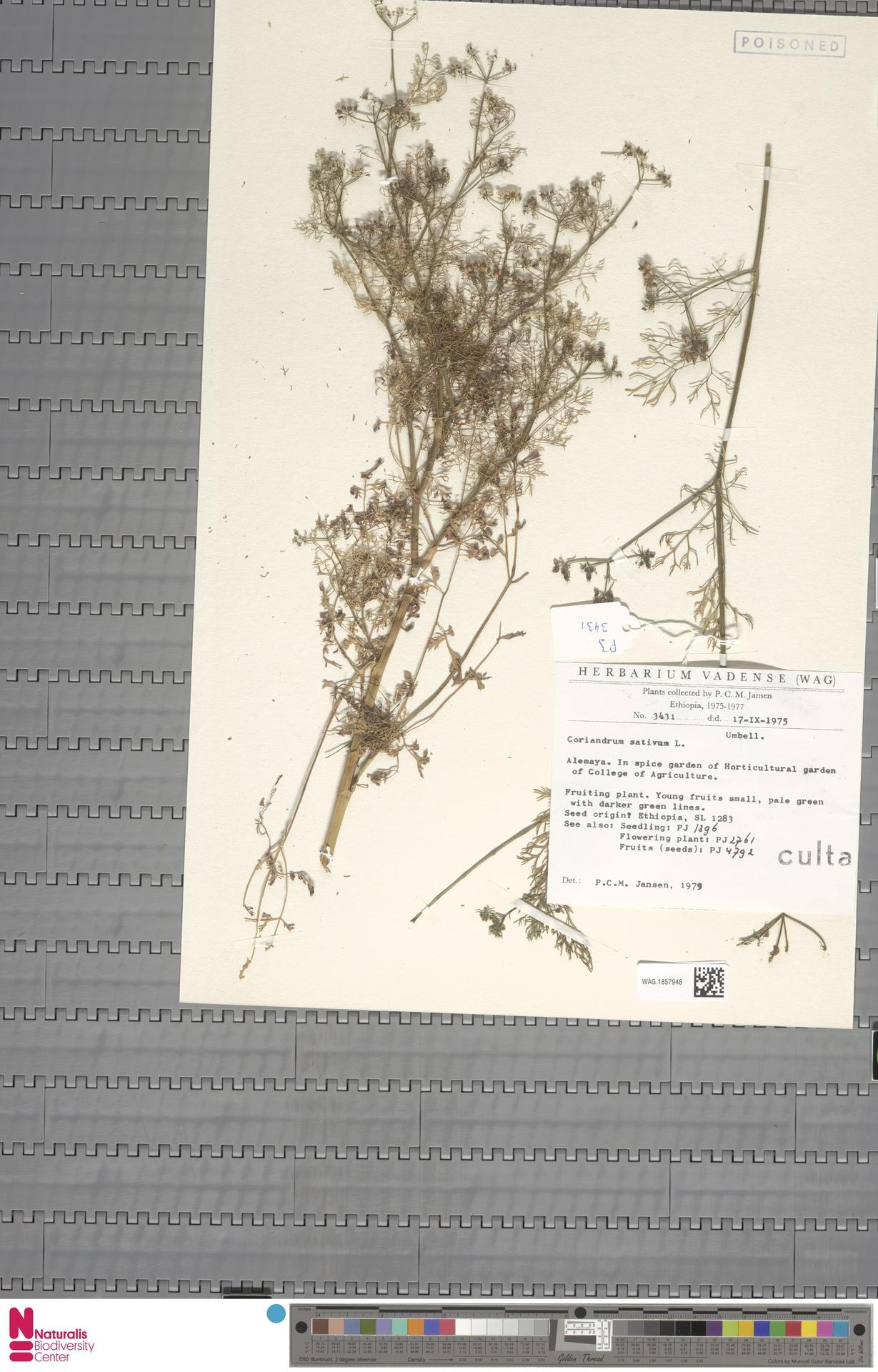 WAG.1857948   Coriandrum sativum L.