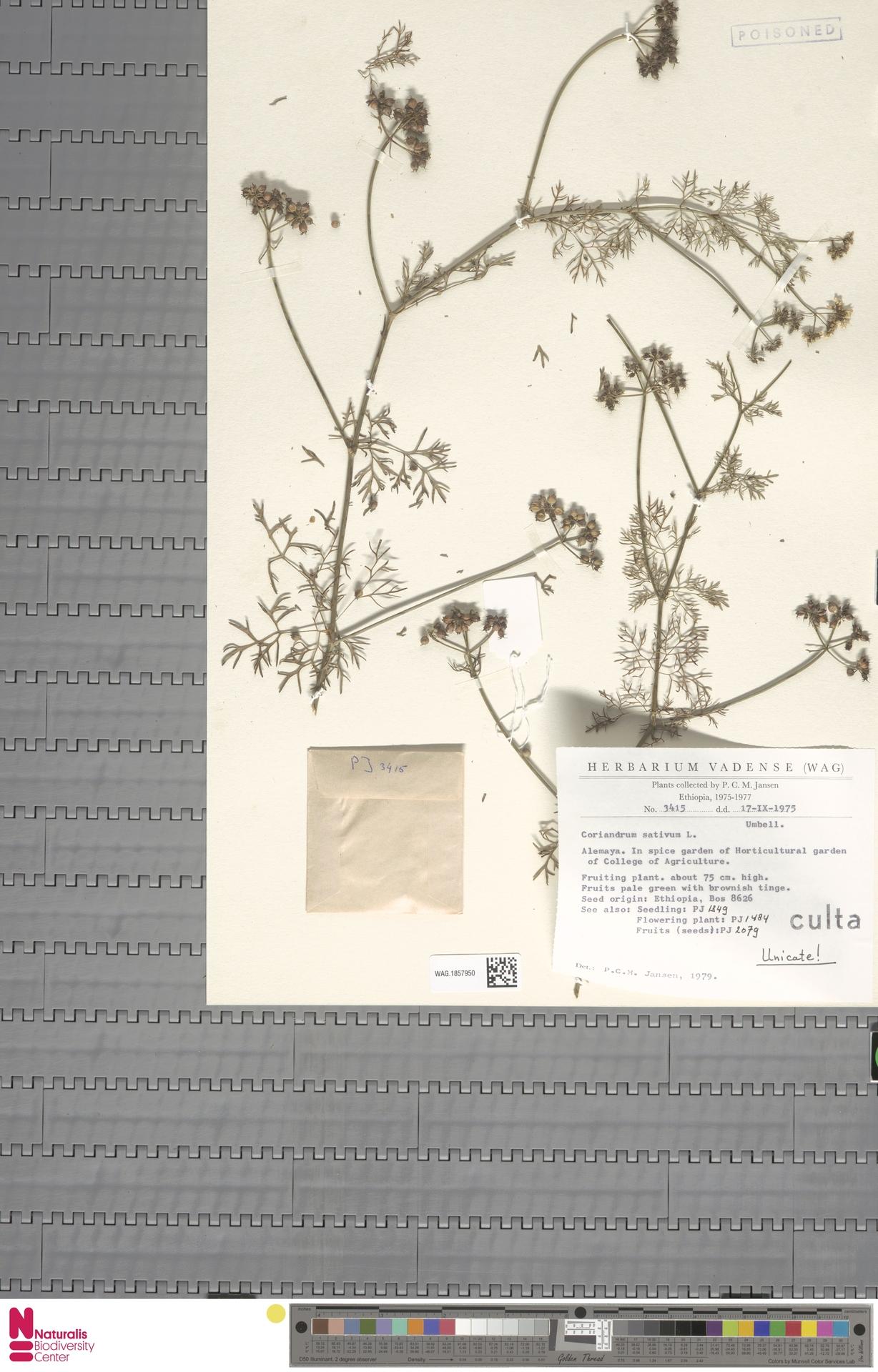 WAG.1857950 | Coriandrum sativum L.