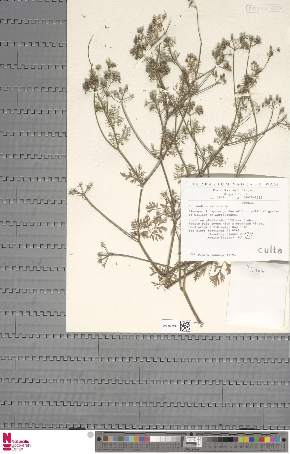 WAG.1857952   Coriandrum sativum L.