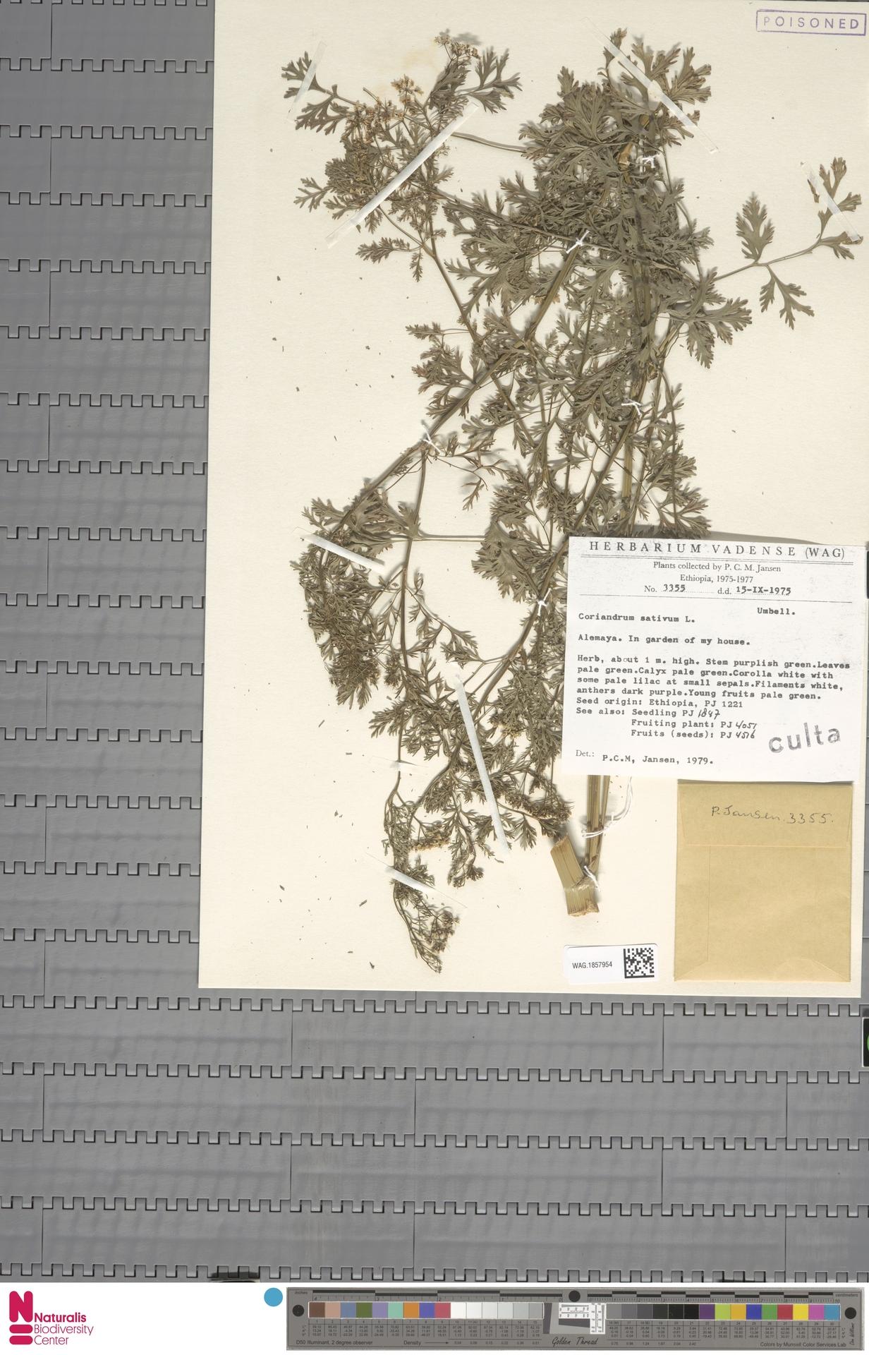 WAG.1857954 | Coriandrum sativum L.
