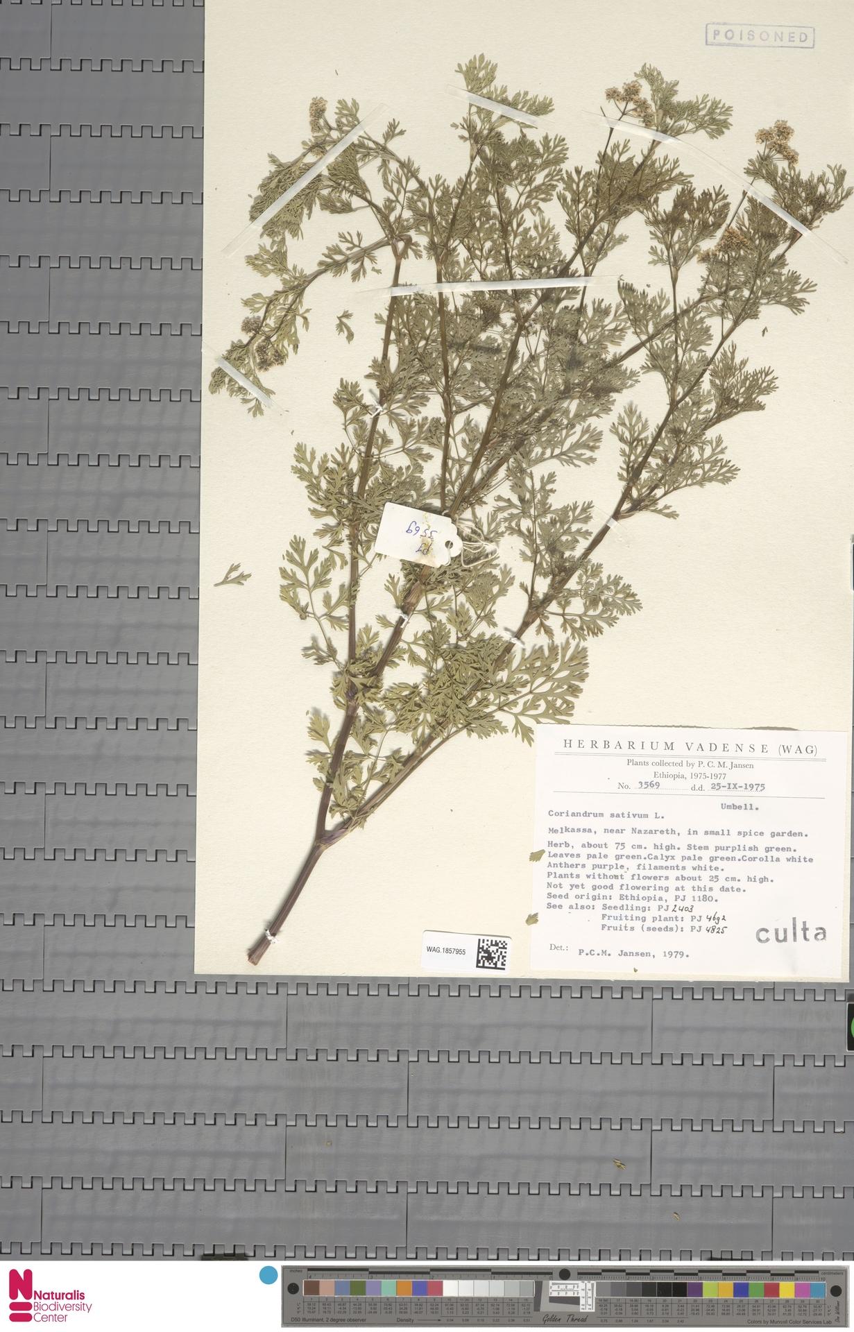WAG.1857955 | Coriandrum sativum L.