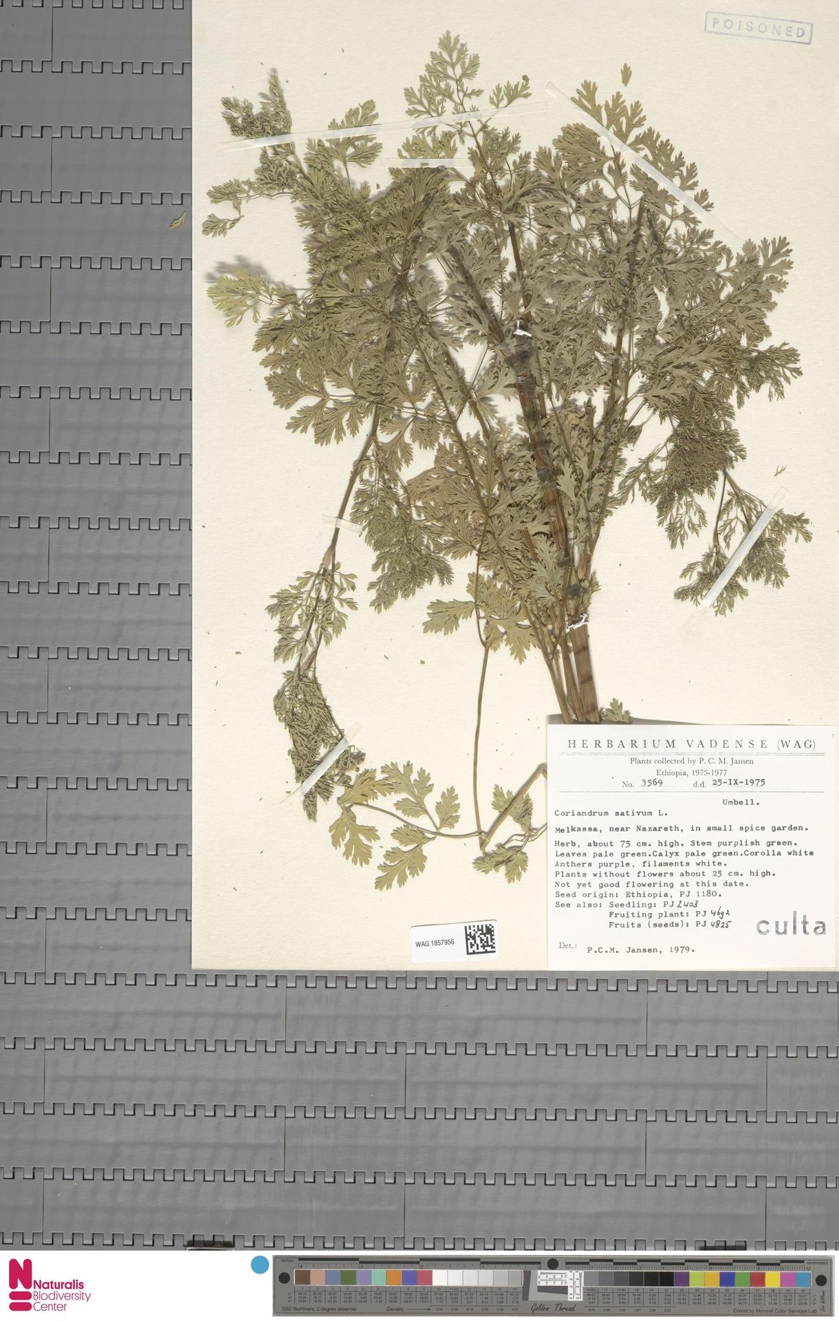 WAG.1857956 | Coriandrum sativum L.