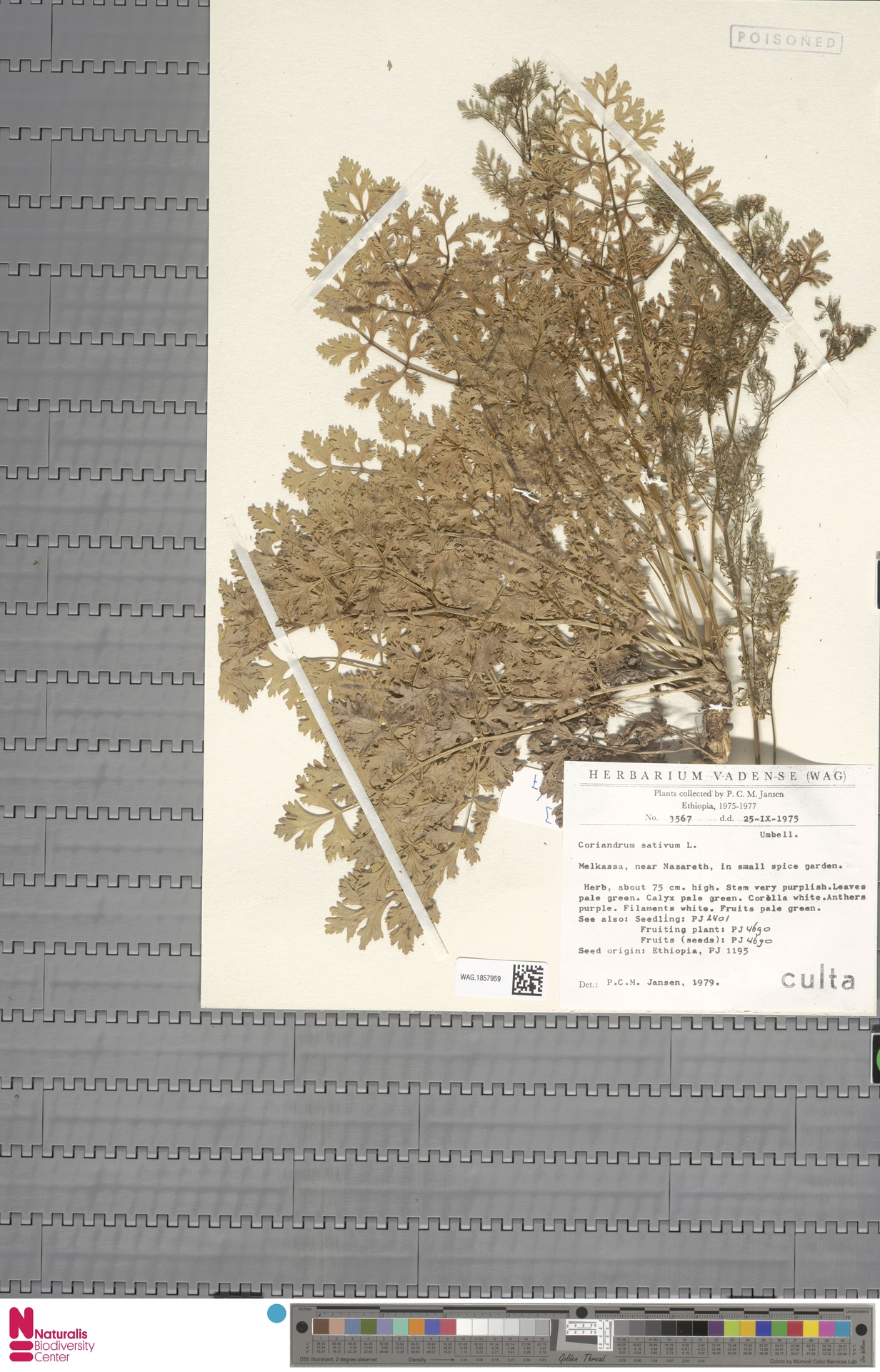 WAG.1857959 | Coriandrum sativum L.