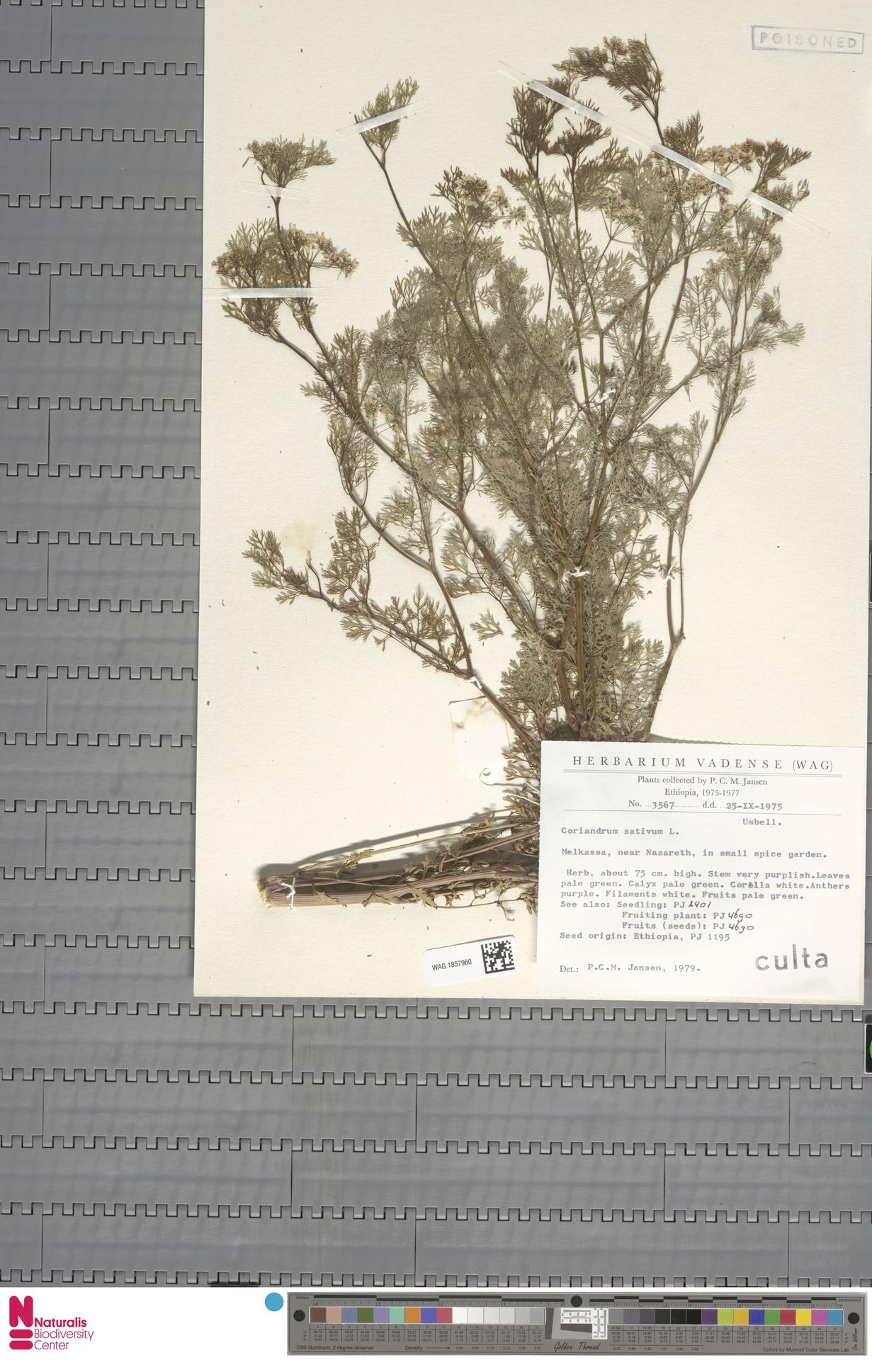 WAG.1857960 | Coriandrum sativum L.