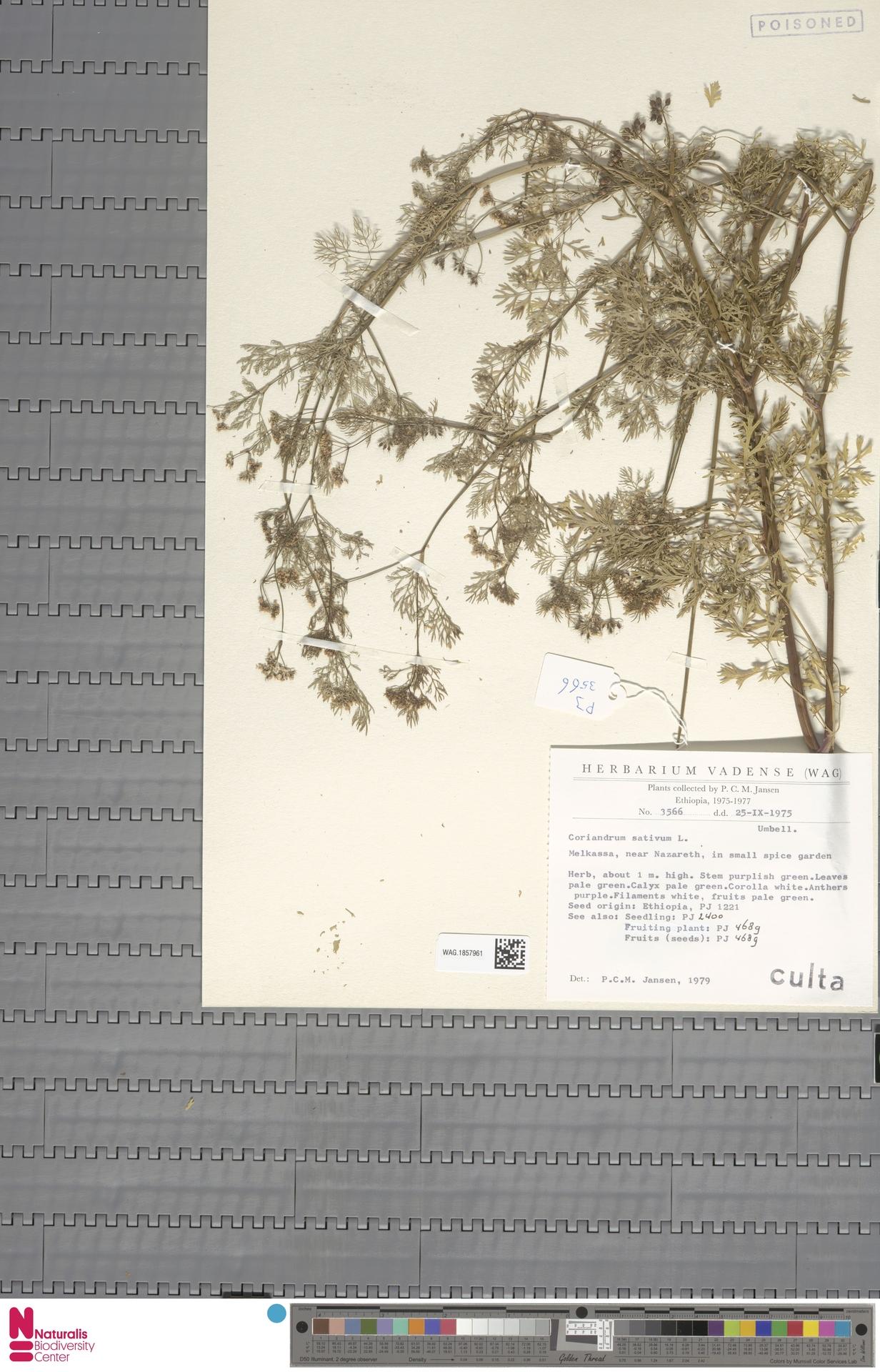 WAG.1857961 | Coriandrum sativum L.