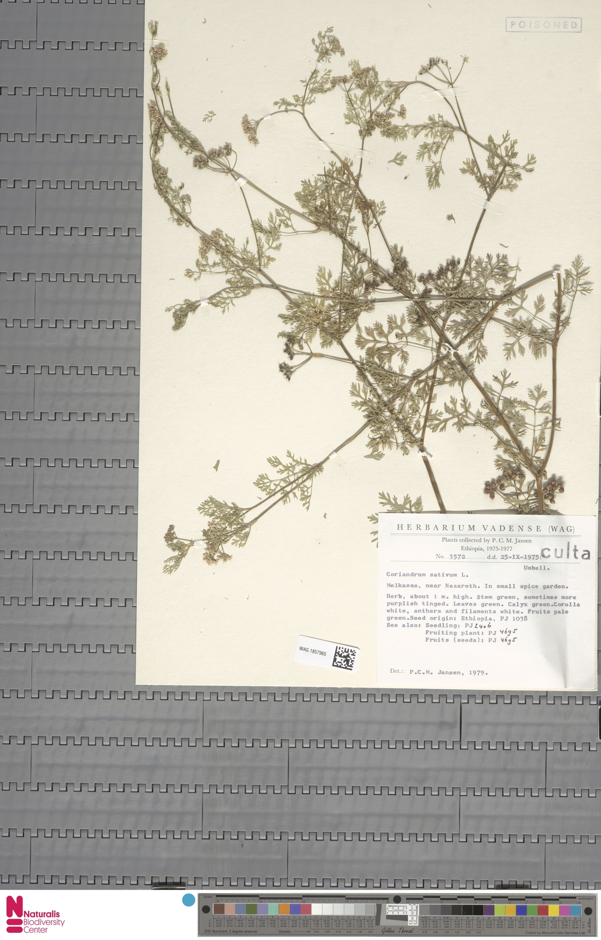 WAG.1857965 | Coriandrum sativum L.