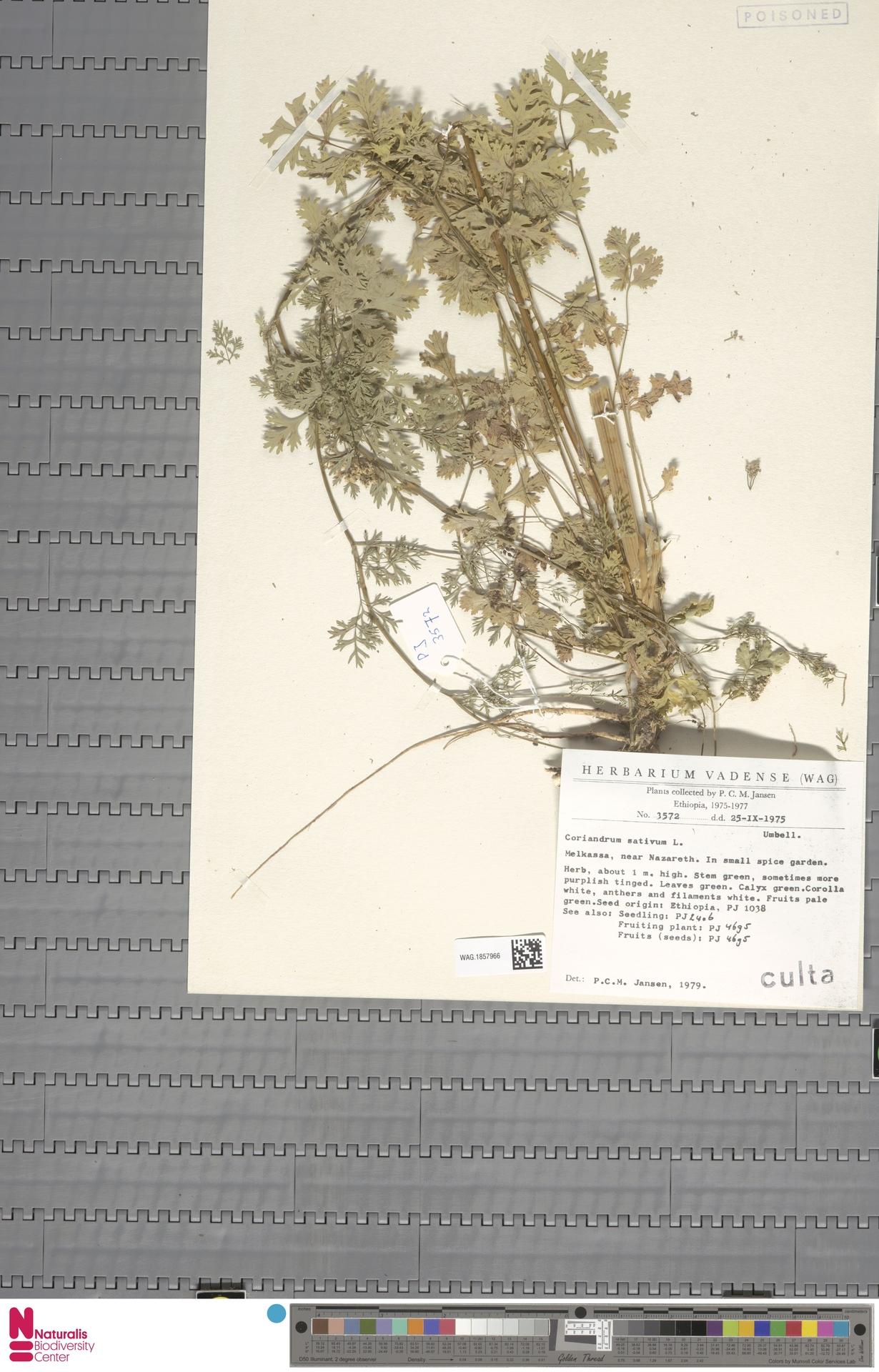 WAG.1857966 | Coriandrum sativum L.
