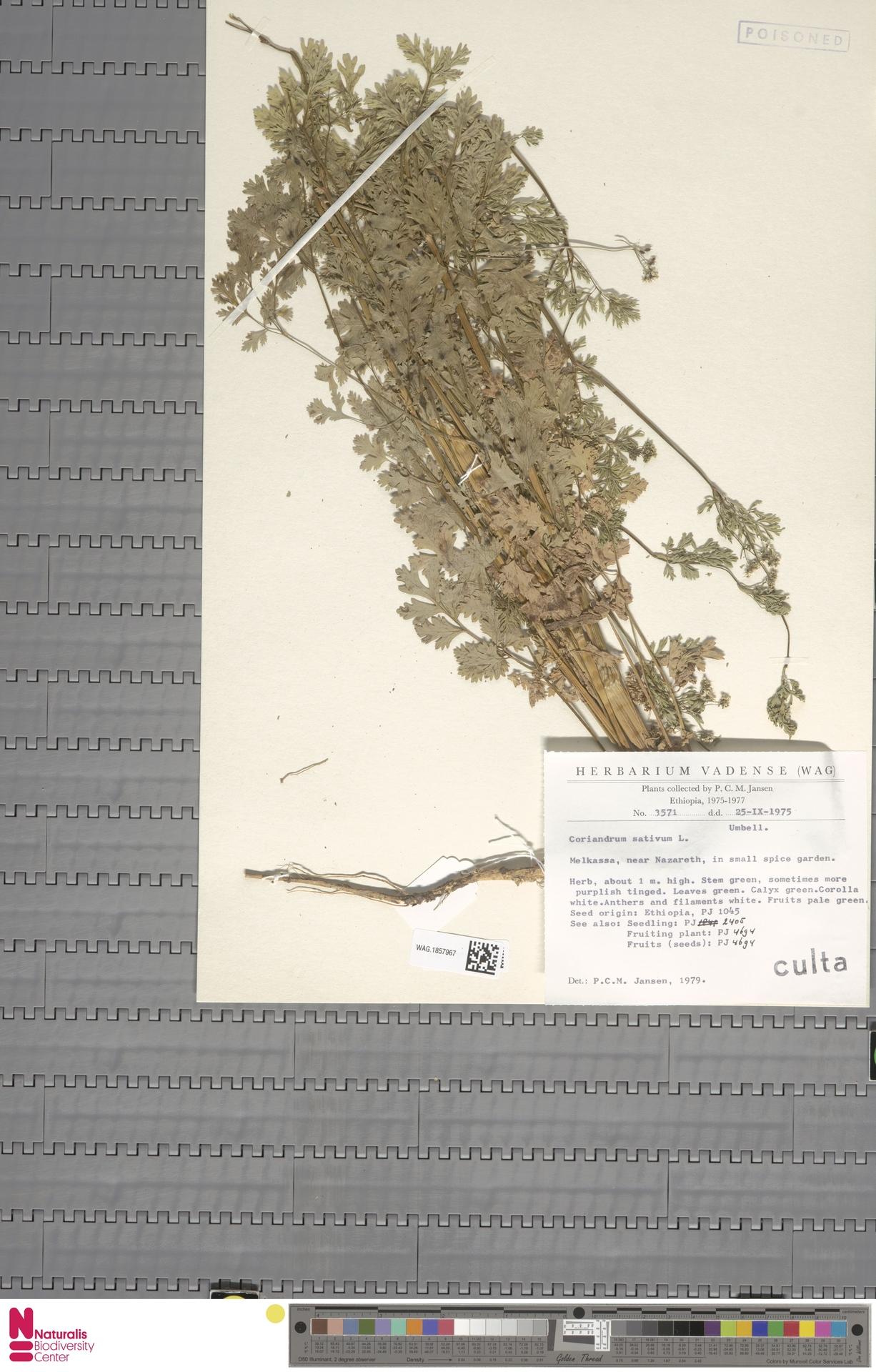 WAG.1857967 | Coriandrum sativum L.