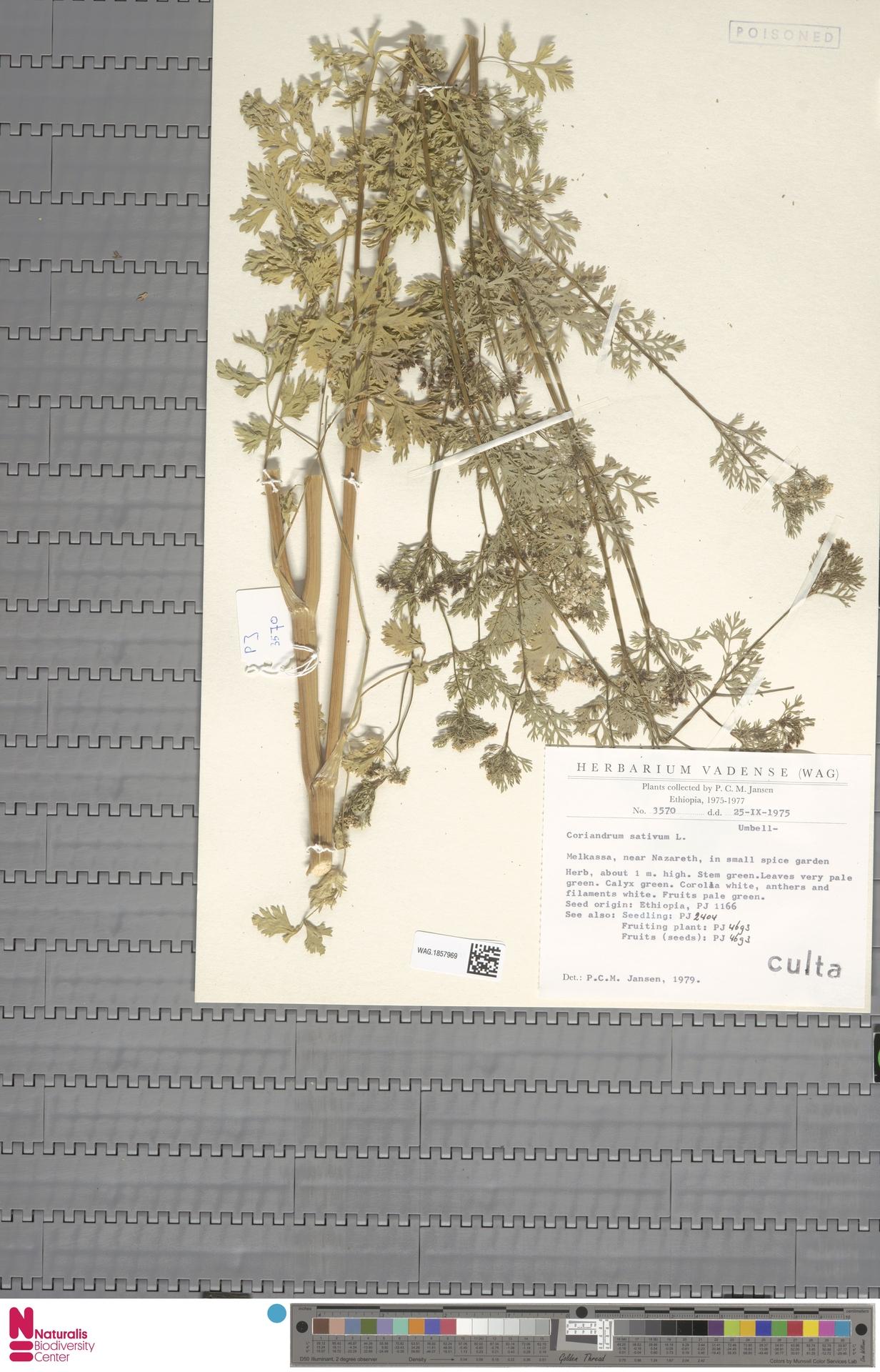 WAG.1857969 | Coriandrum sativum L.