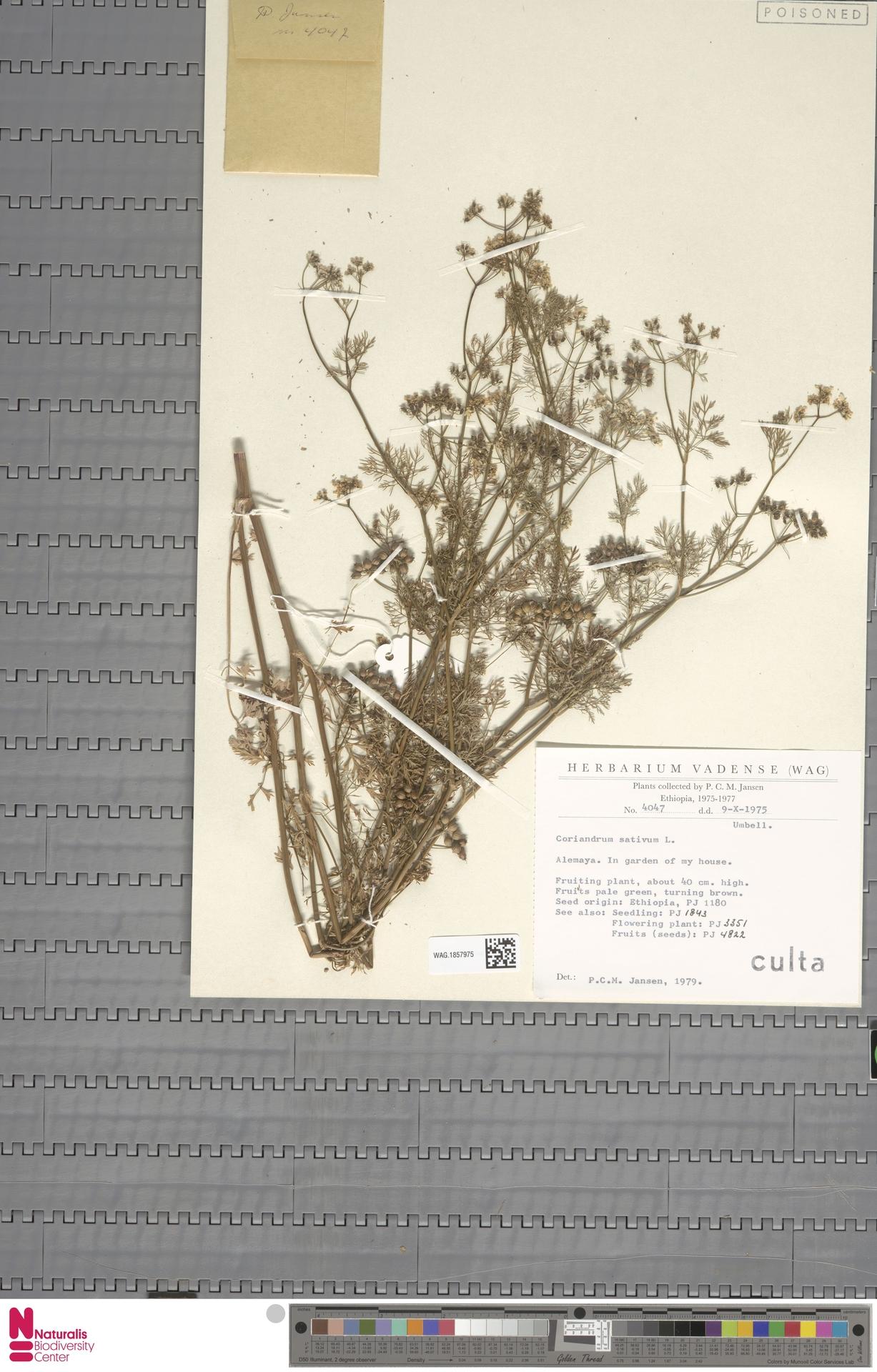 WAG.1857975 | Coriandrum sativum L.