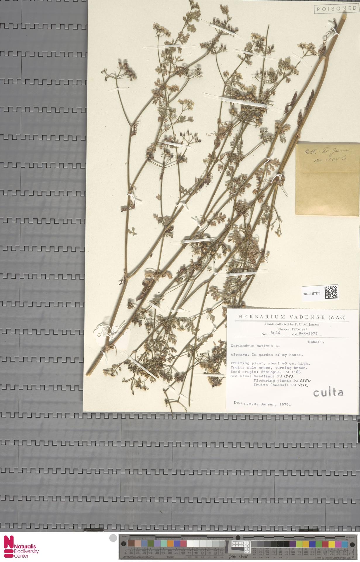 WAG.1857976   Coriandrum sativum L.