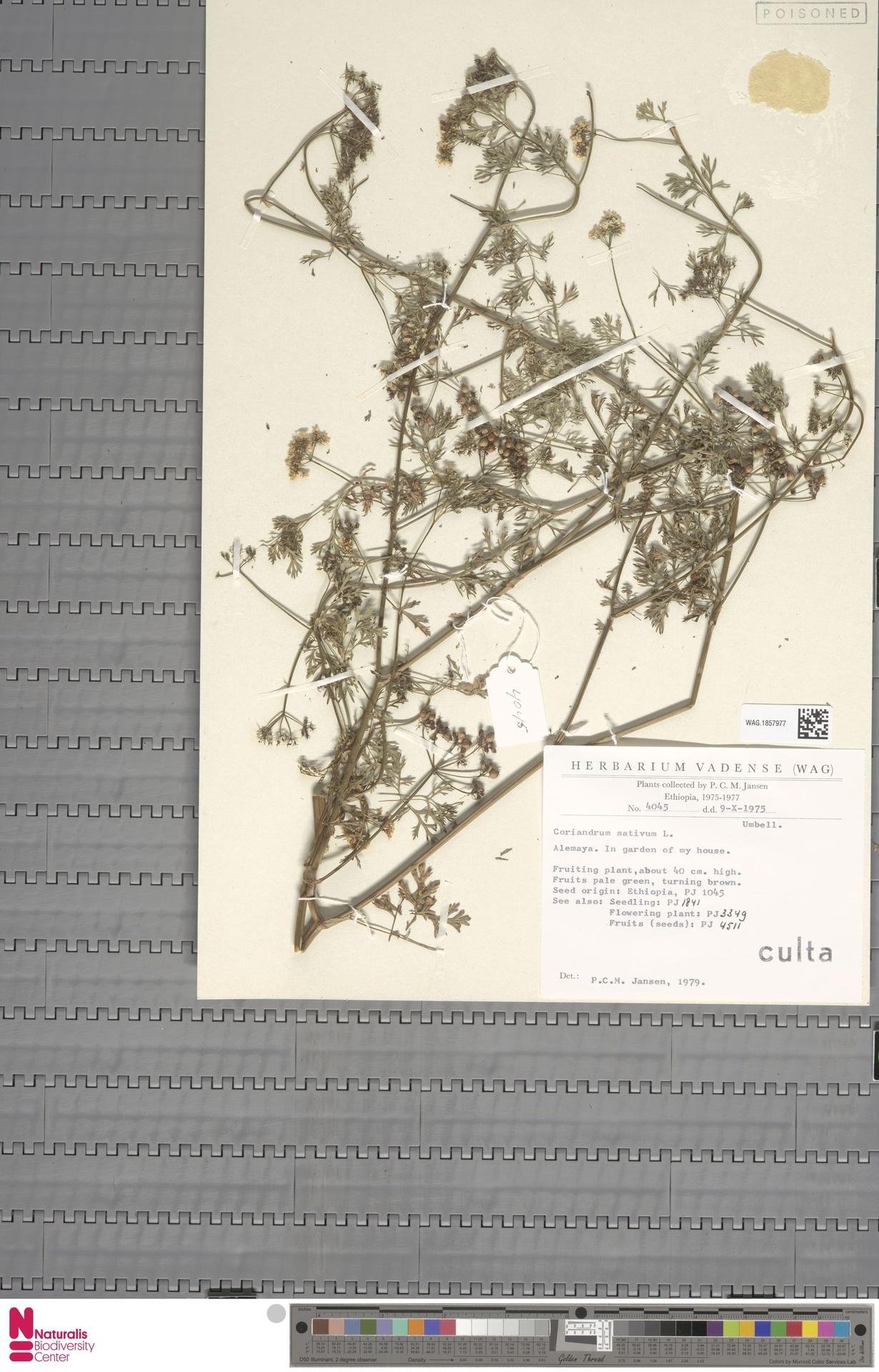 WAG.1857977 | Coriandrum sativum L.