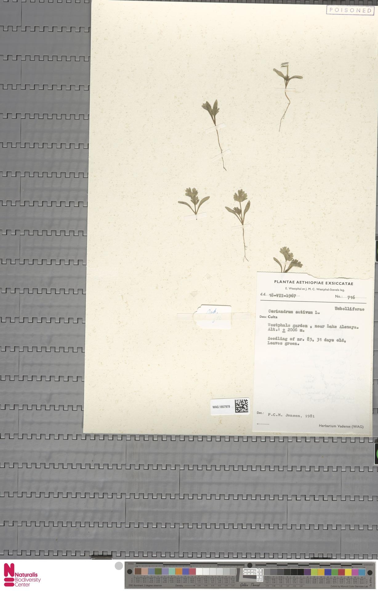WAG.1857978 | Coriandrum sativum L.