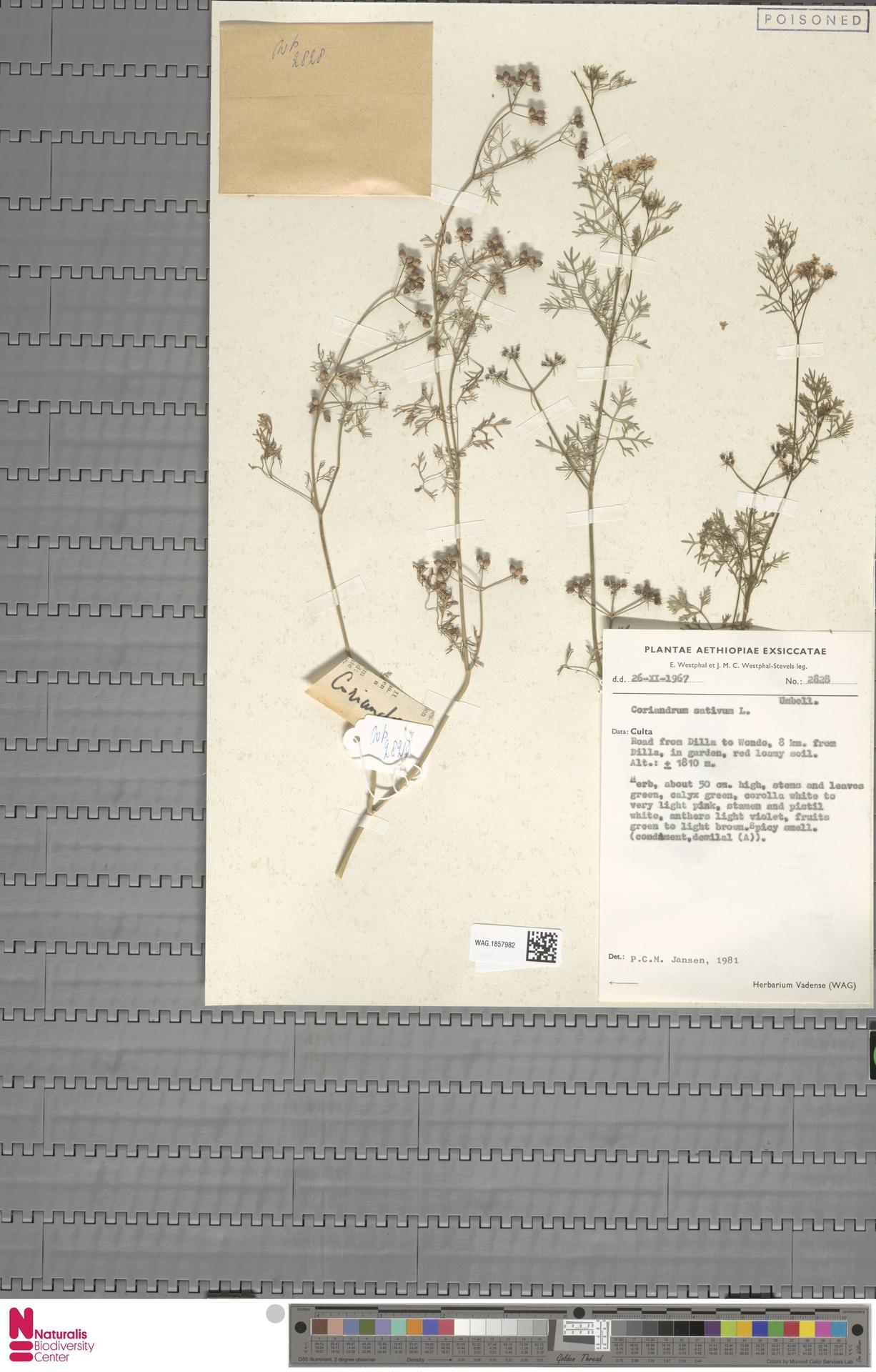 WAG.1857982 | Coriandrum sativum L.