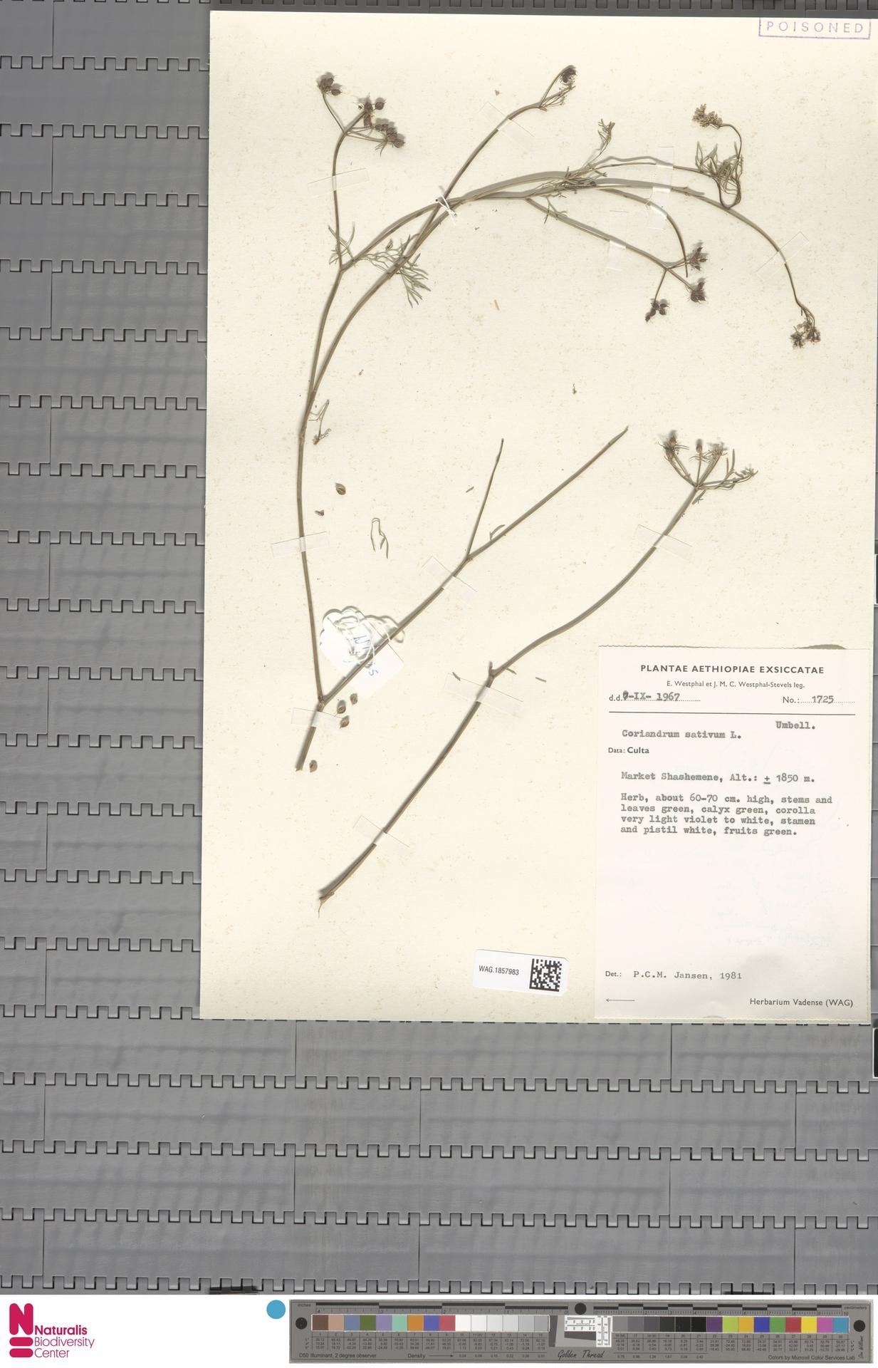 WAG.1857983 | Coriandrum sativum L.