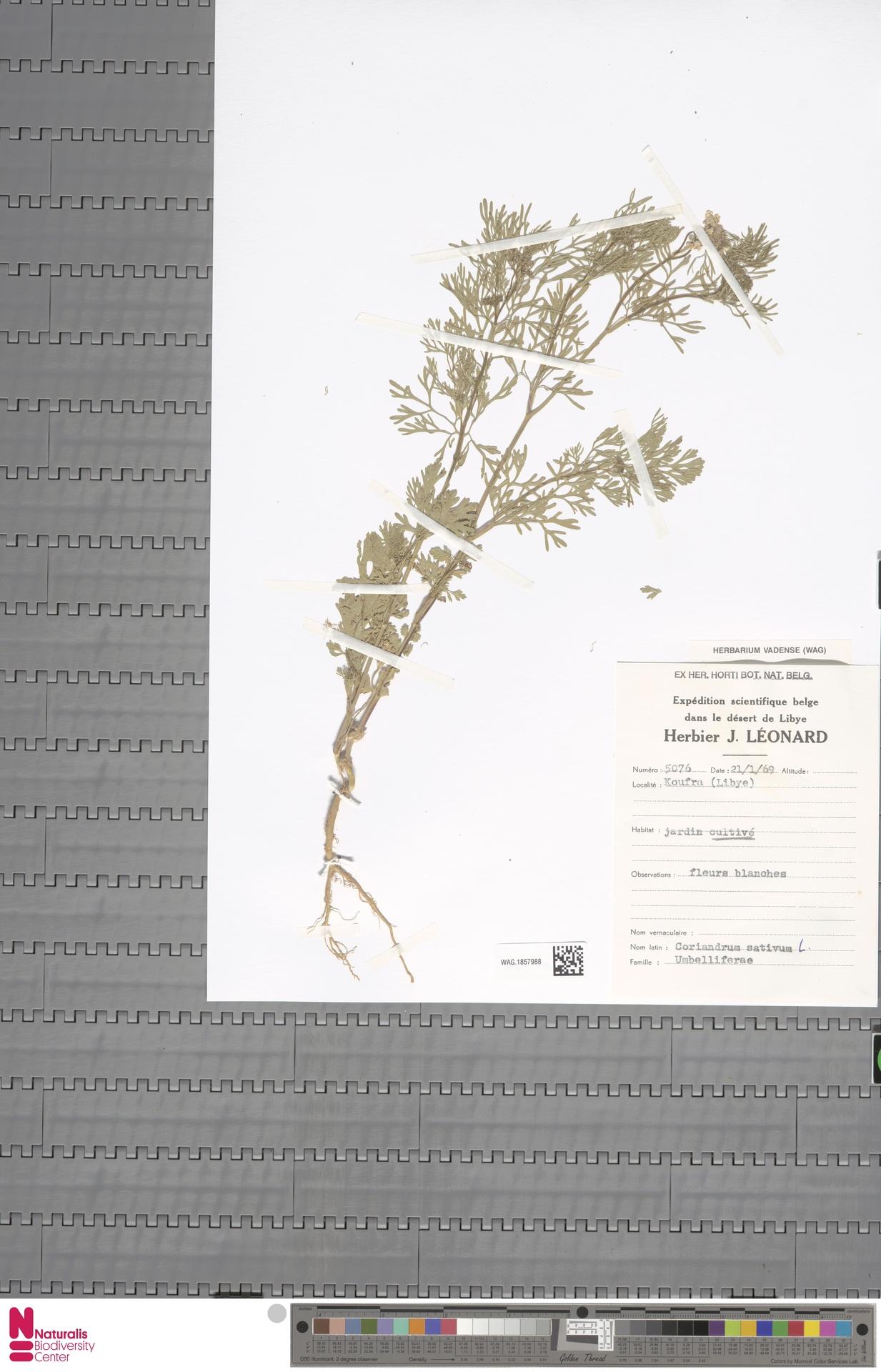 WAG.1857988 | Coriandrum sativum L.