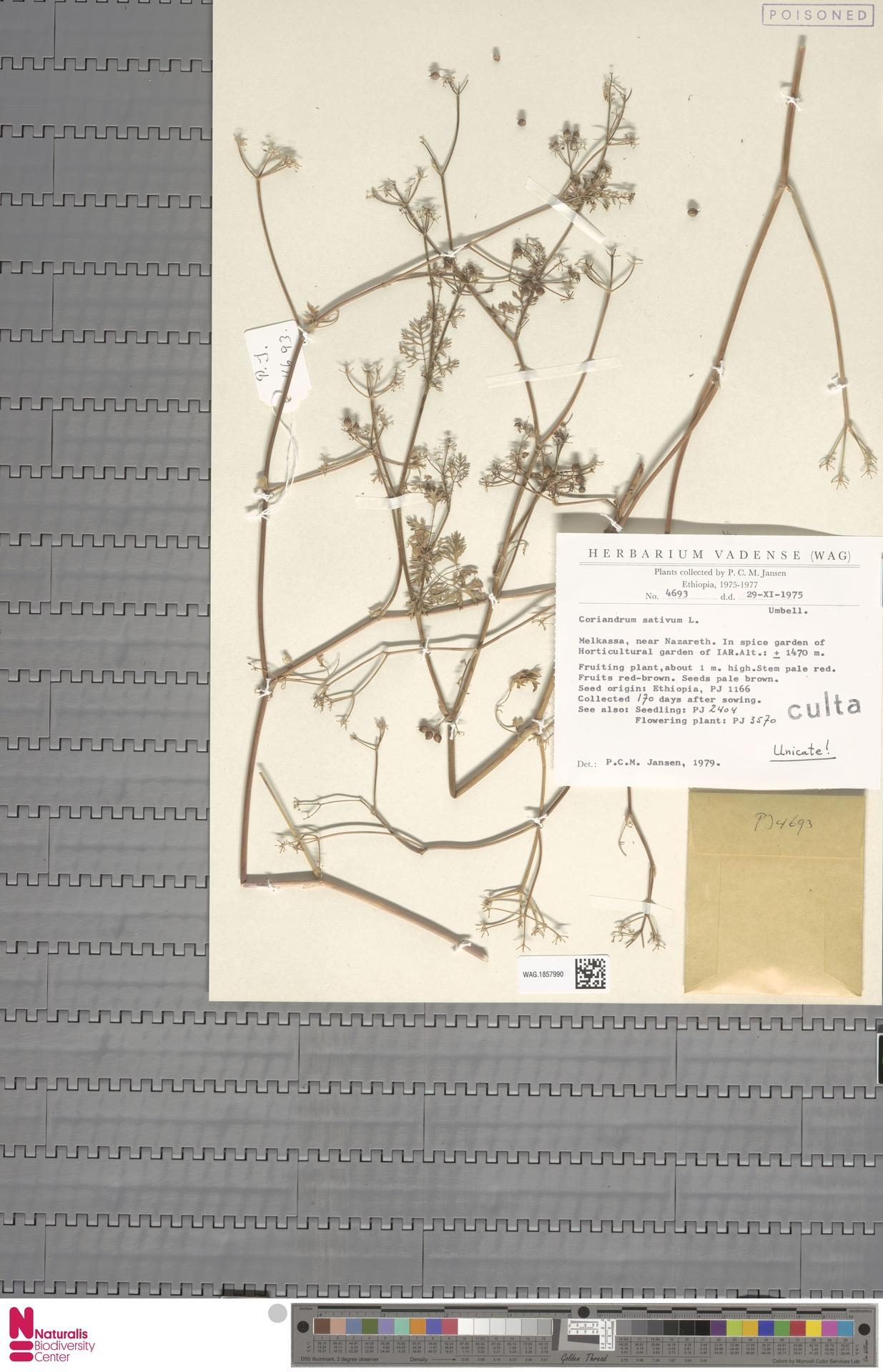 WAG.1857990 | Coriandrum sativum L.