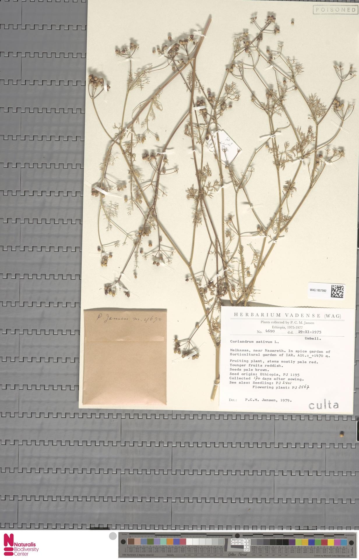 WAG.1857992   Coriandrum sativum L.