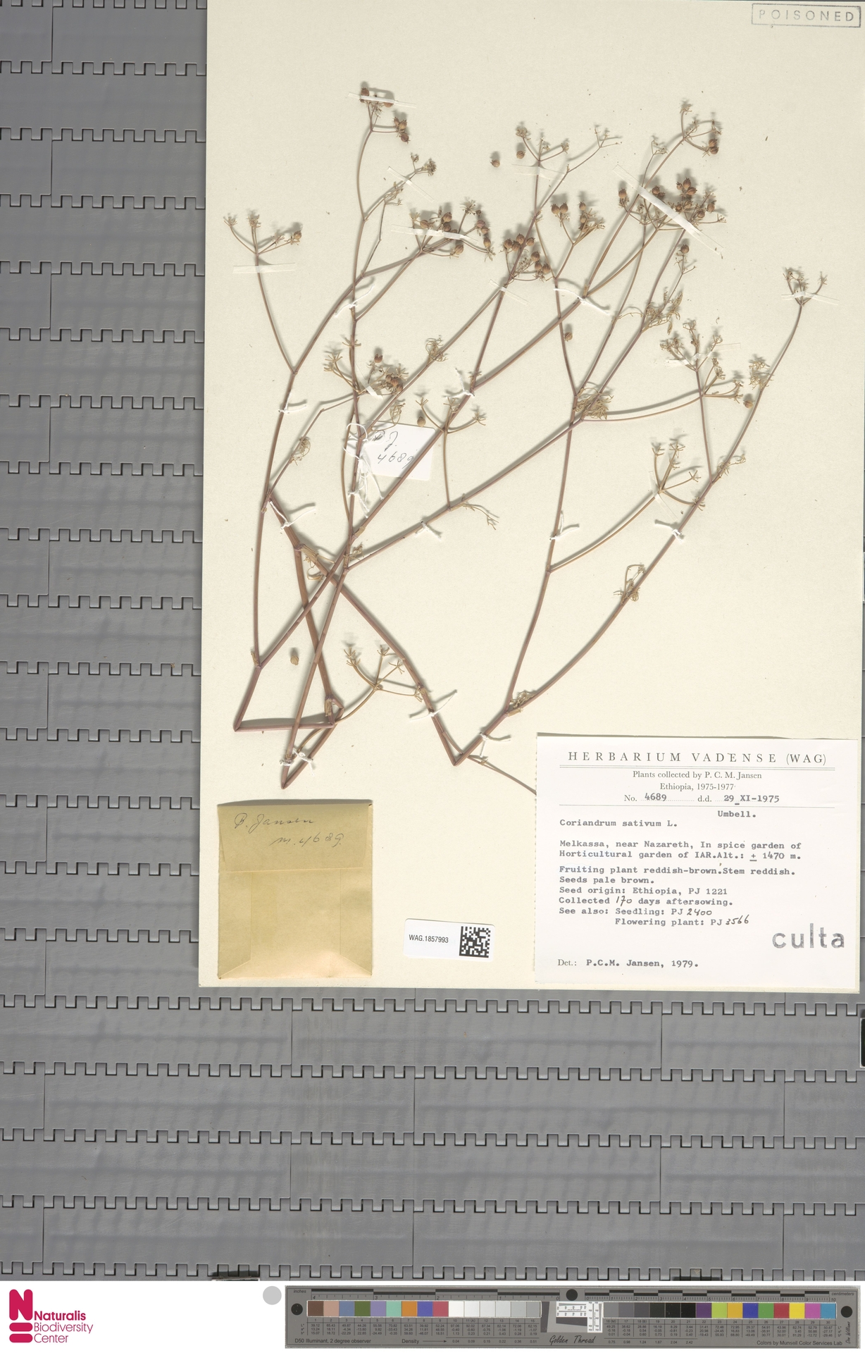 WAG.1857993 | Coriandrum sativum L.