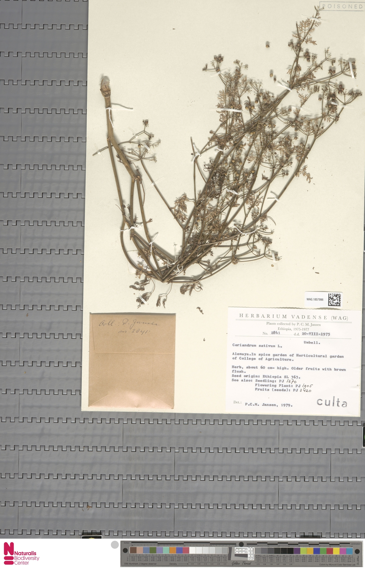 WAG.1857996 | Coriandrum sativum L.