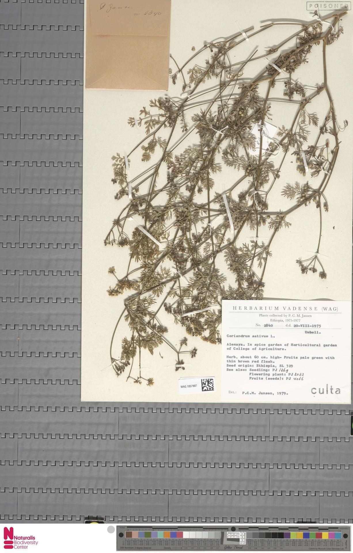 WAG.1857997 | Coriandrum sativum L.