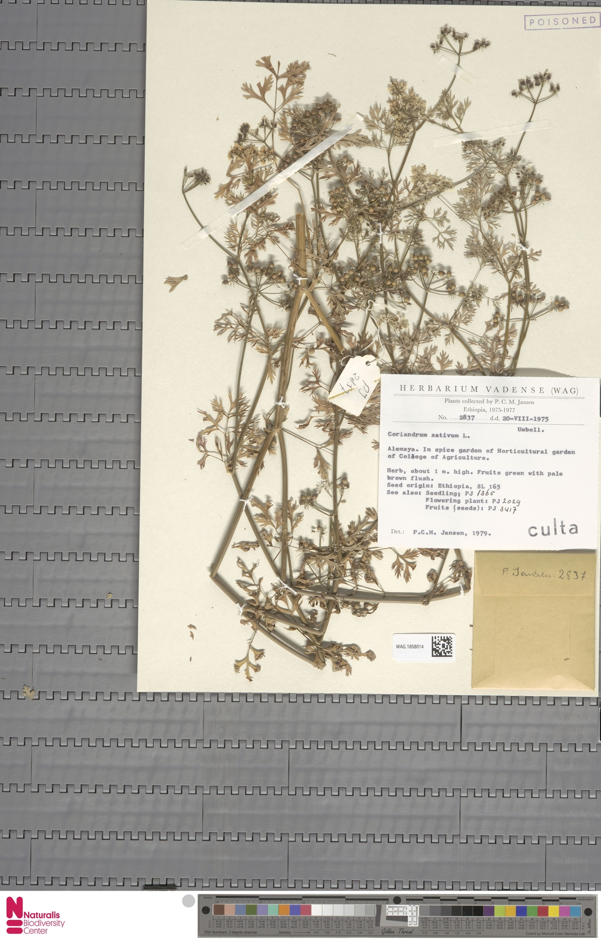 WAG.1858014 | Coriandrum sativum L.