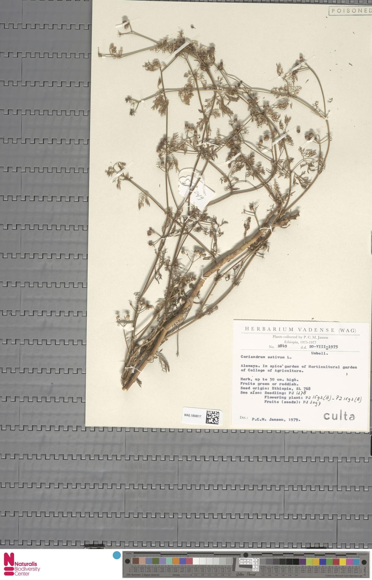 WAG.1858017 | Coriandrum sativum L.