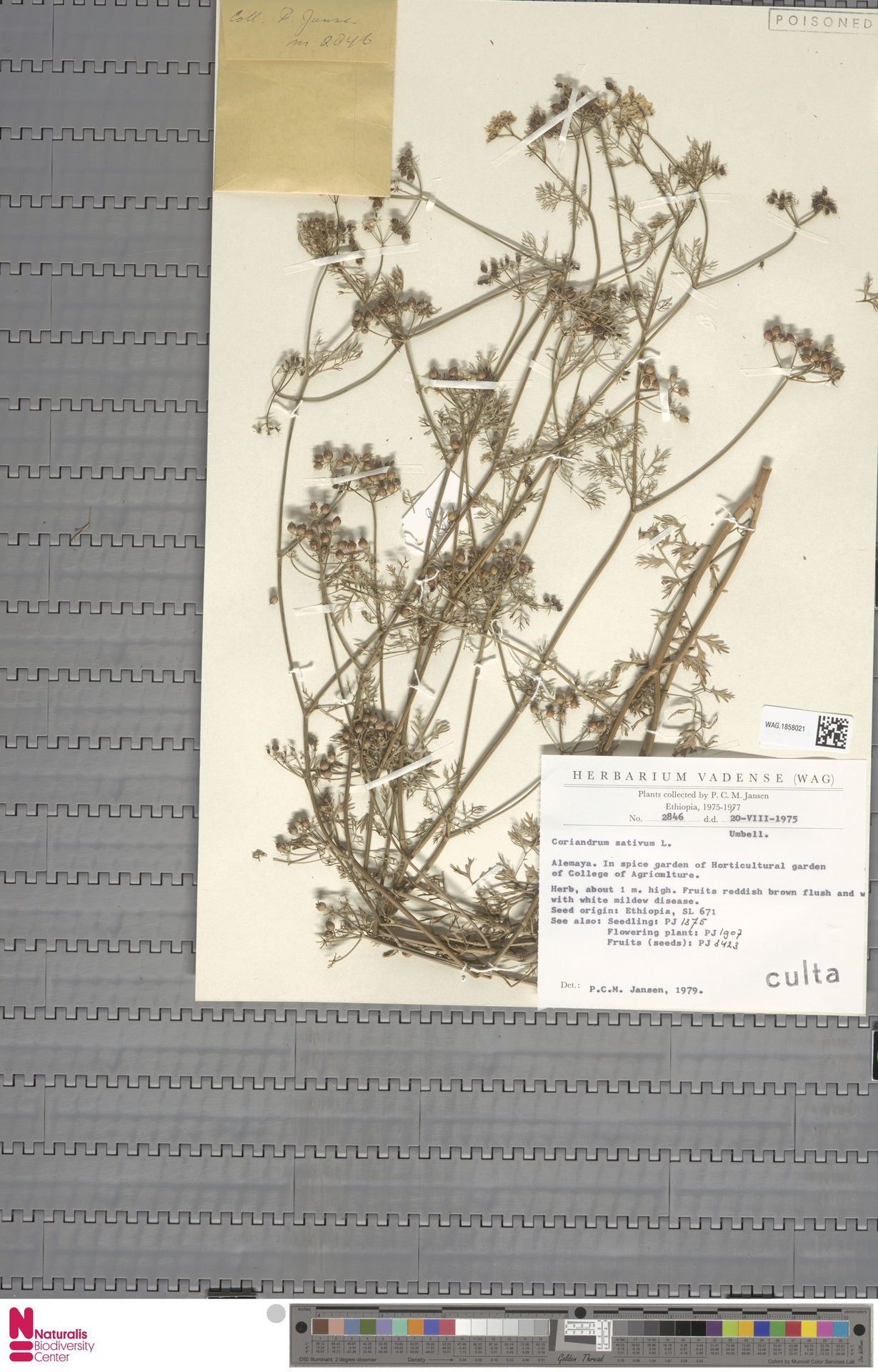 WAG.1858021 | Coriandrum sativum L.
