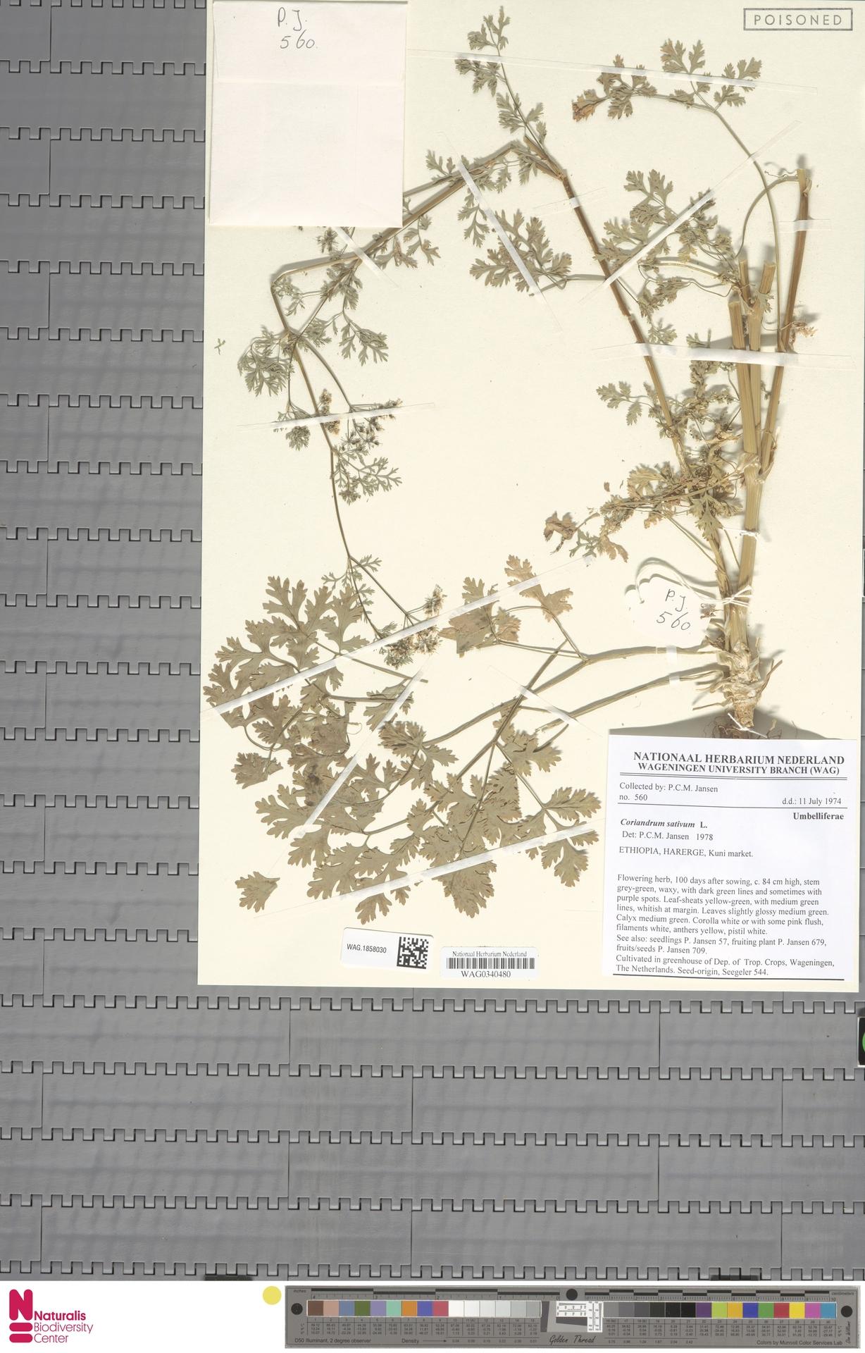 WAG.1858030 | Coriandrum sativum L.