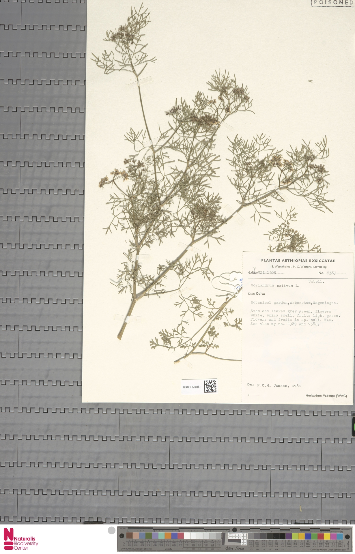 WAG.1858036 | Coriandrum sativum L.