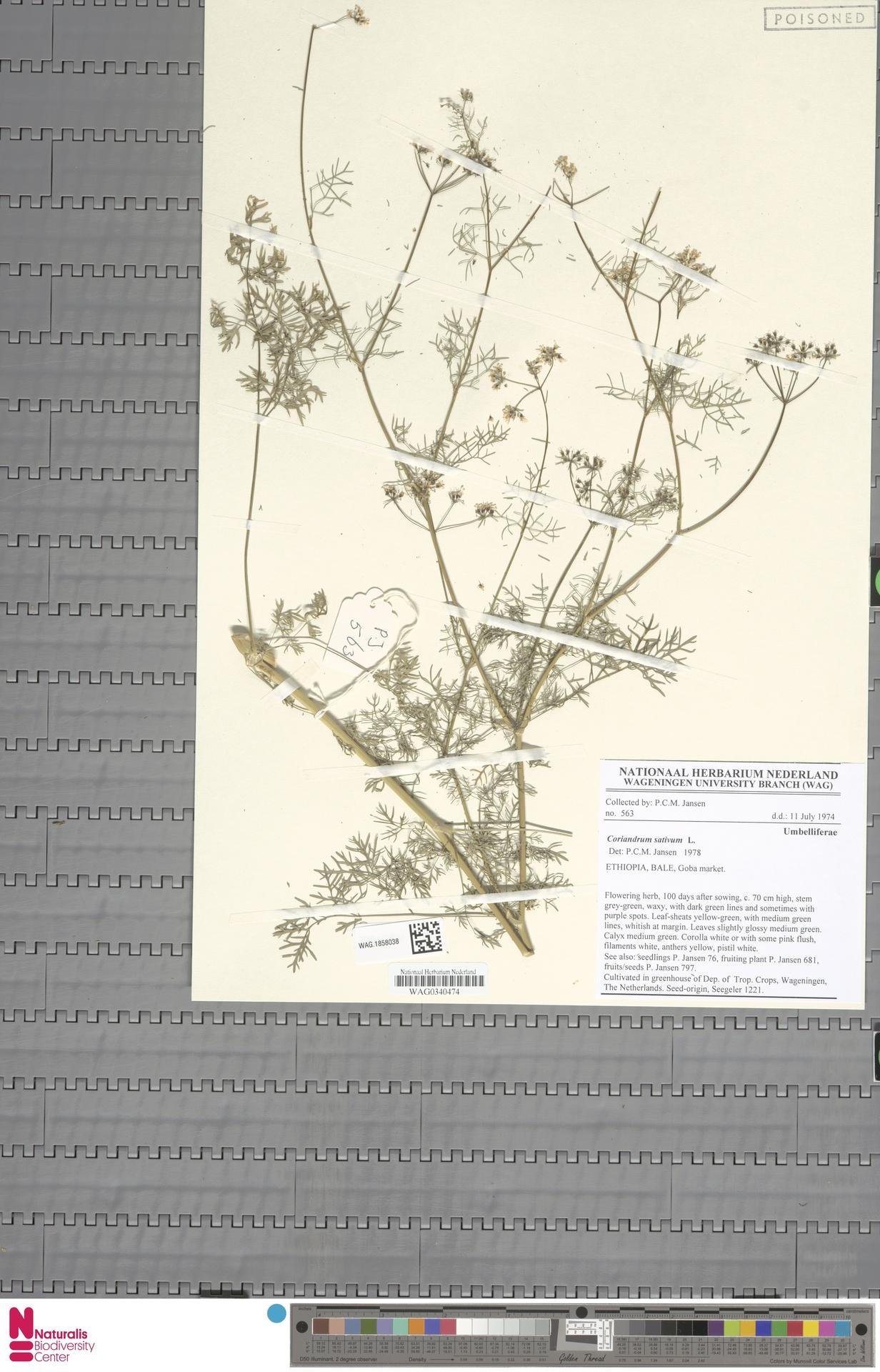 WAG.1858038   Coriandrum sativum L.
