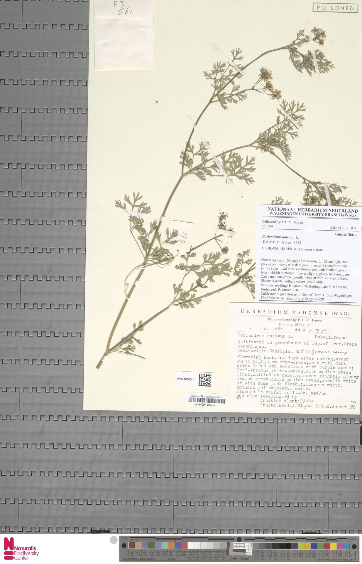 WAG.1858041   Coriandrum sativum L.