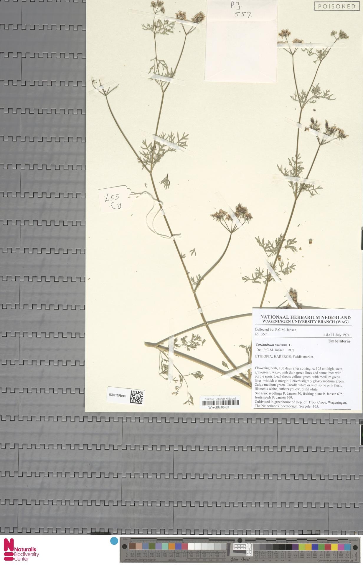 WAG.1858043 | Coriandrum sativum L.