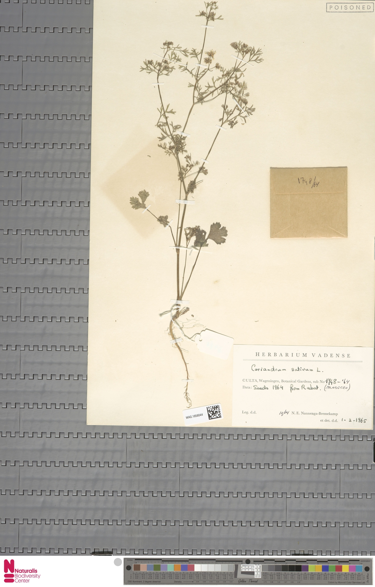 WAG.1858044 | Coriandrum sativum L.