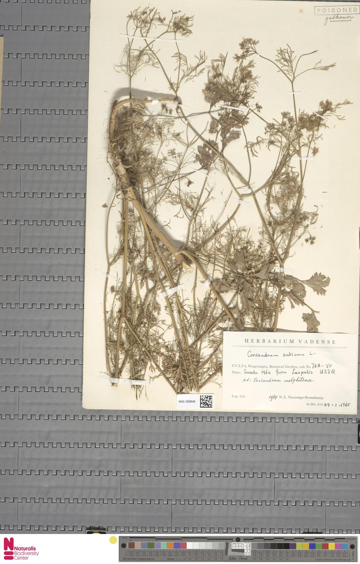 WAG.1858049   Coriandrum sativum L.