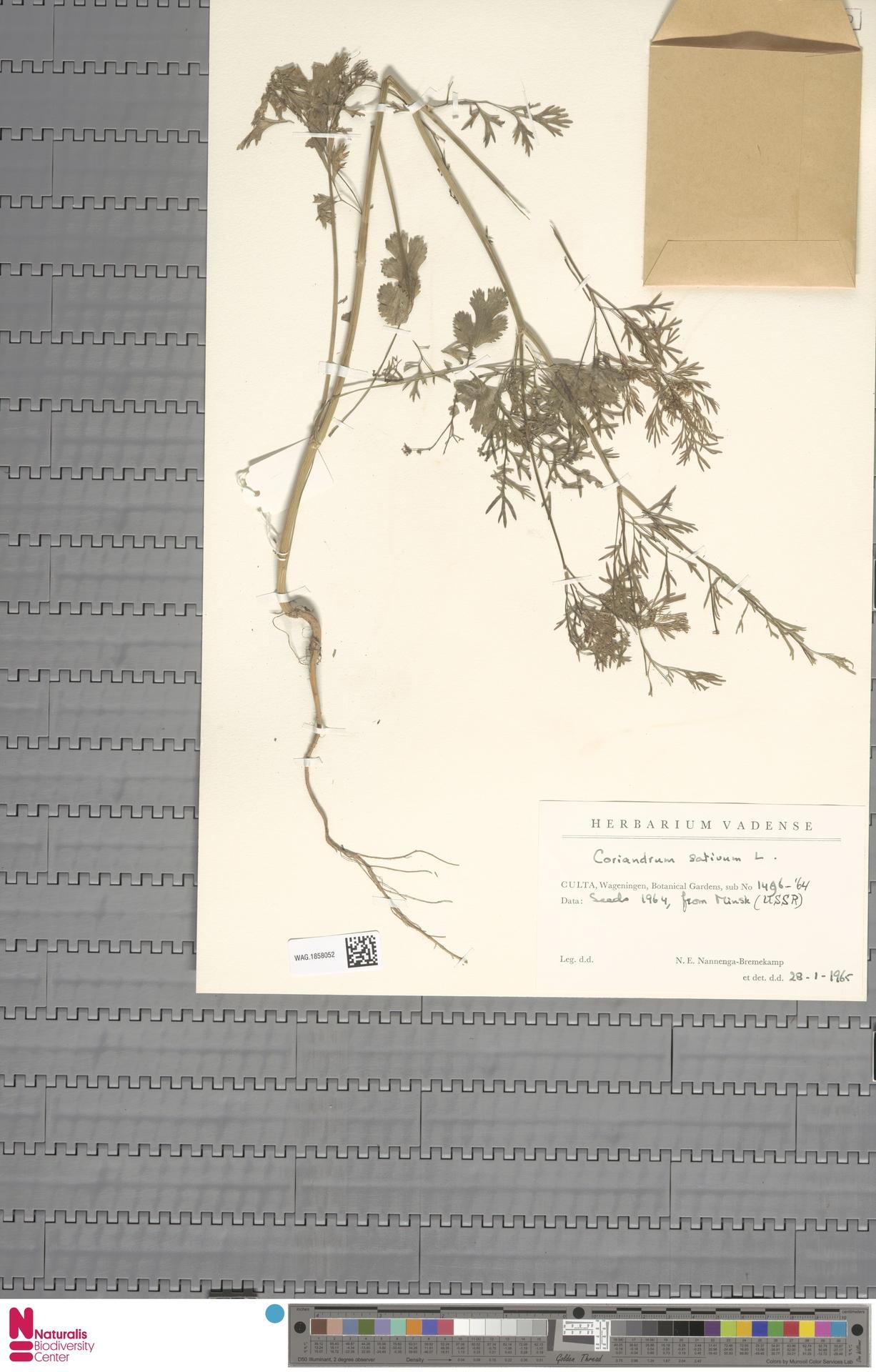 WAG.1858052 | Coriandrum sativum L.