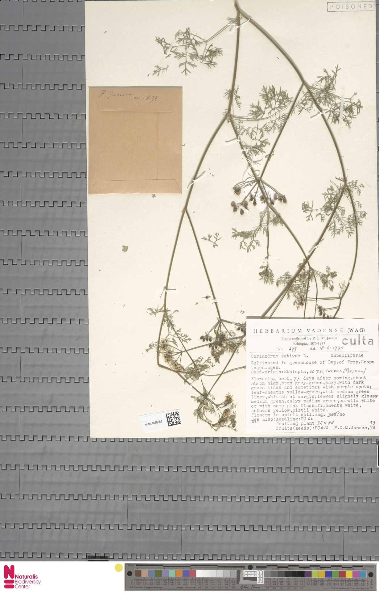 WAG.1858056 | Coriandrum sativum L.
