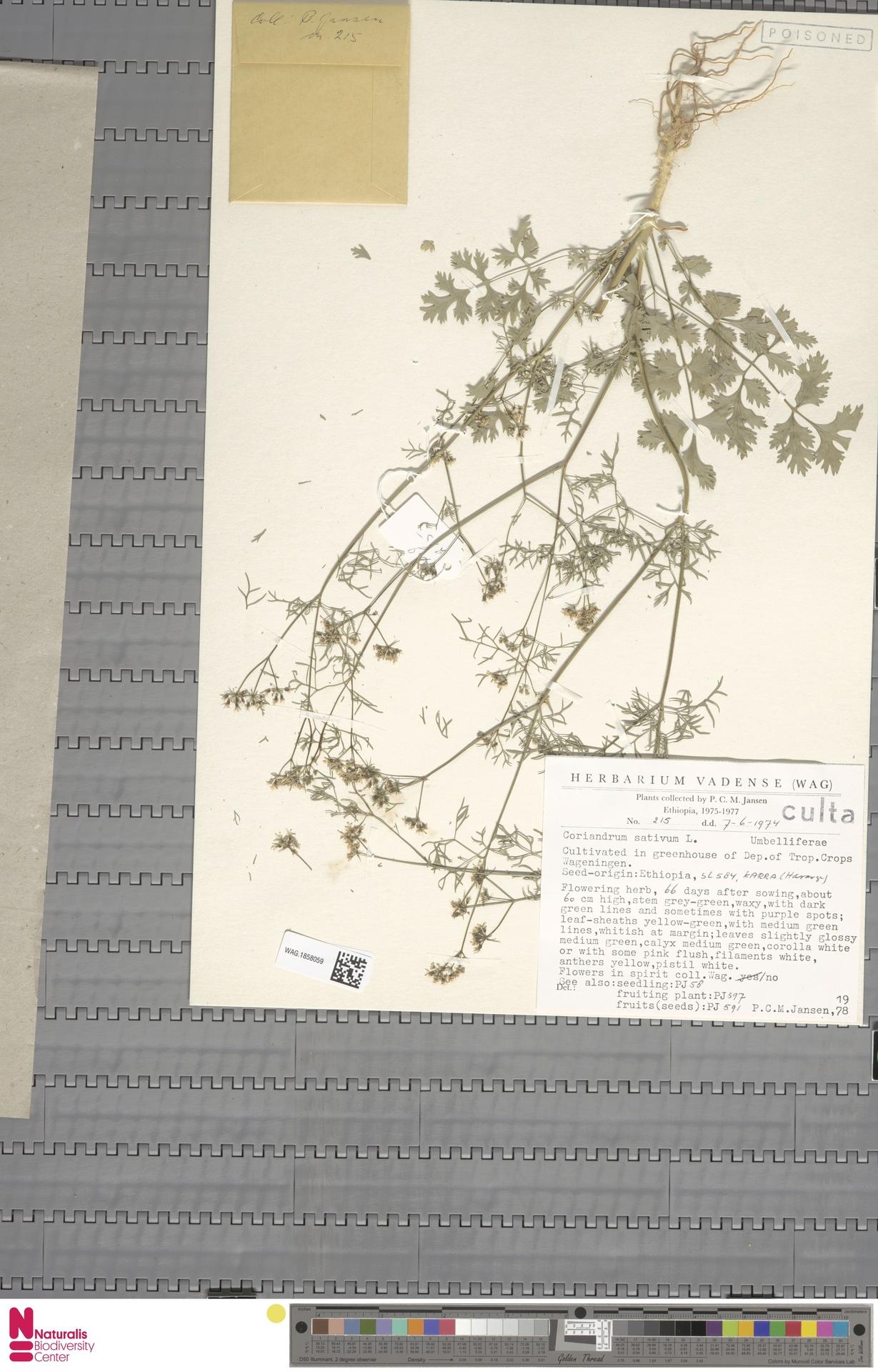 WAG.1858059 | Coriandrum sativum L.