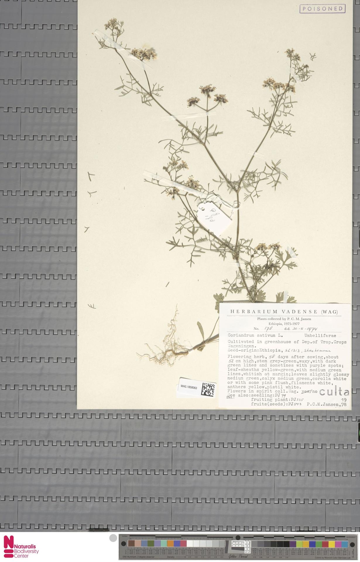 WAG.1858063 | Coriandrum sativum L.