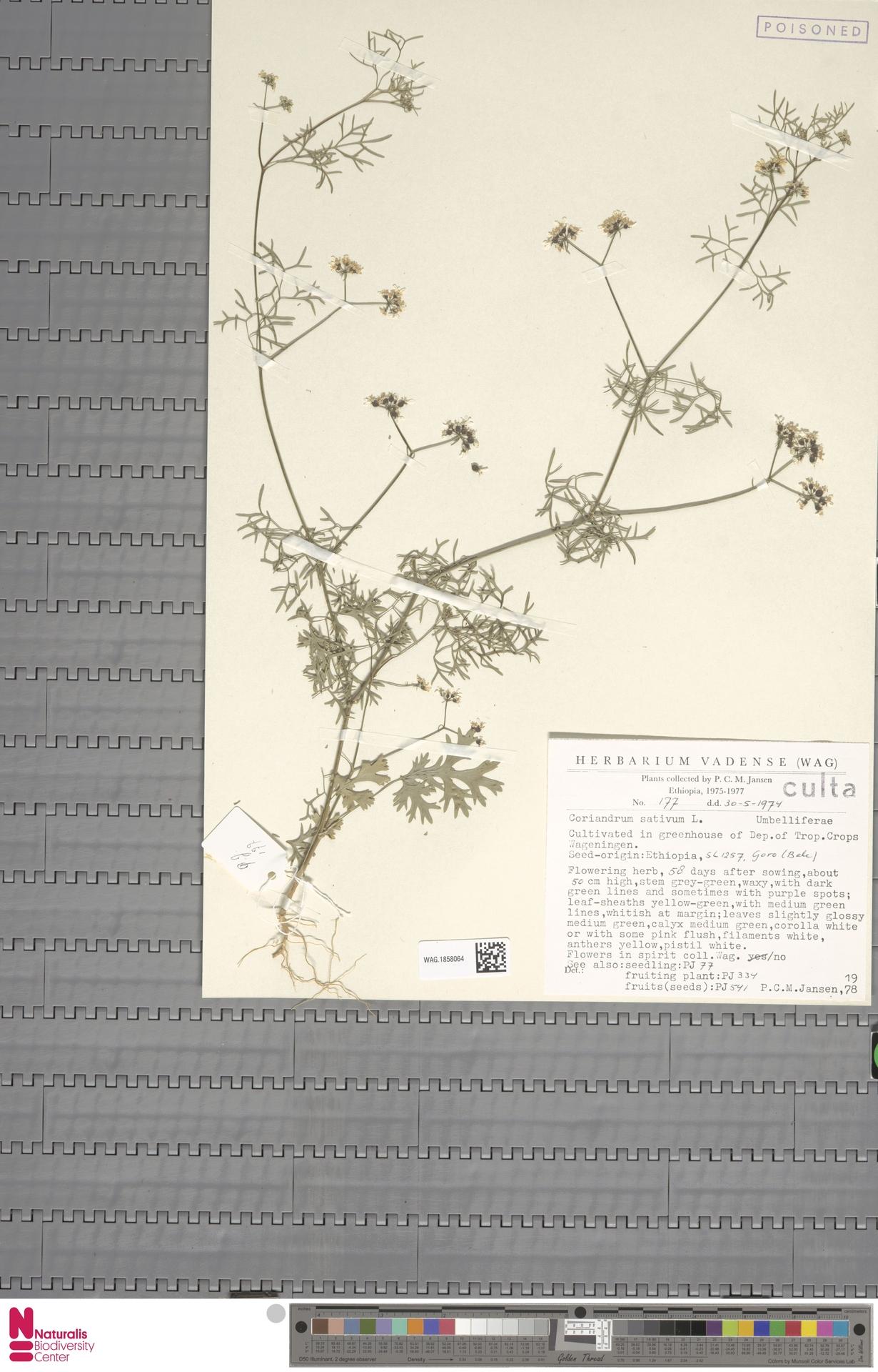 WAG.1858064 | Coriandrum sativum L.