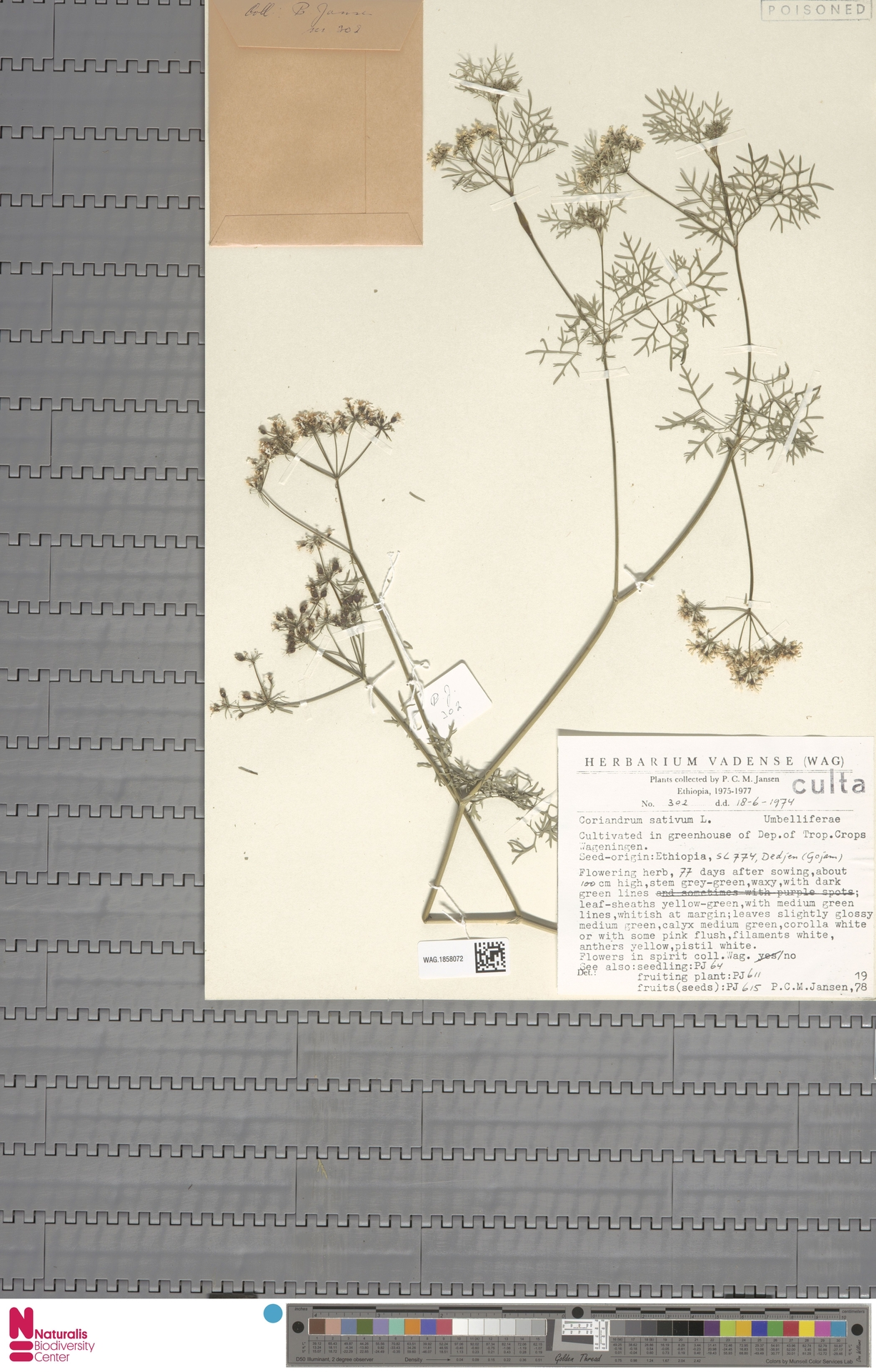 WAG.1858072 | Coriandrum sativum L.