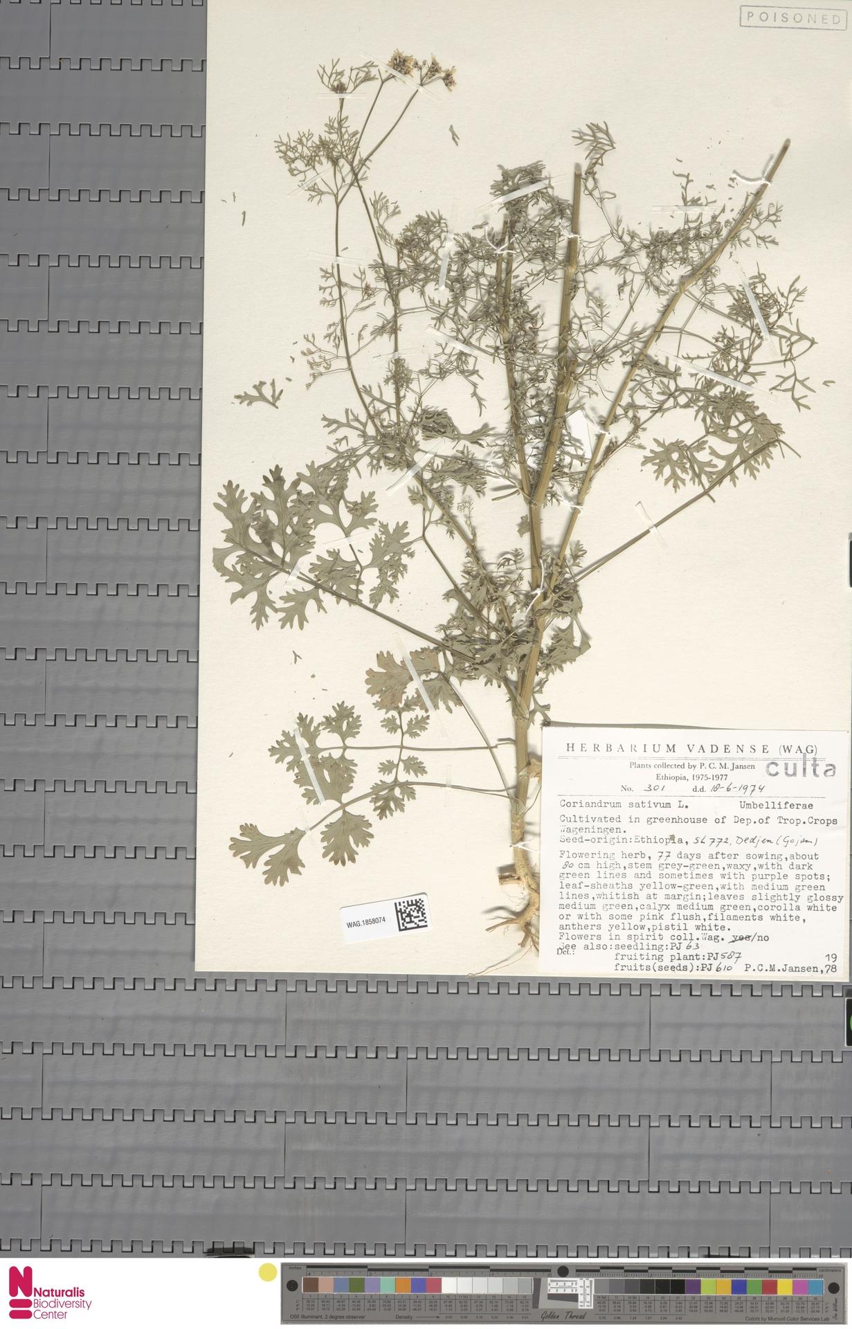 WAG.1858074   Coriandrum sativum L.