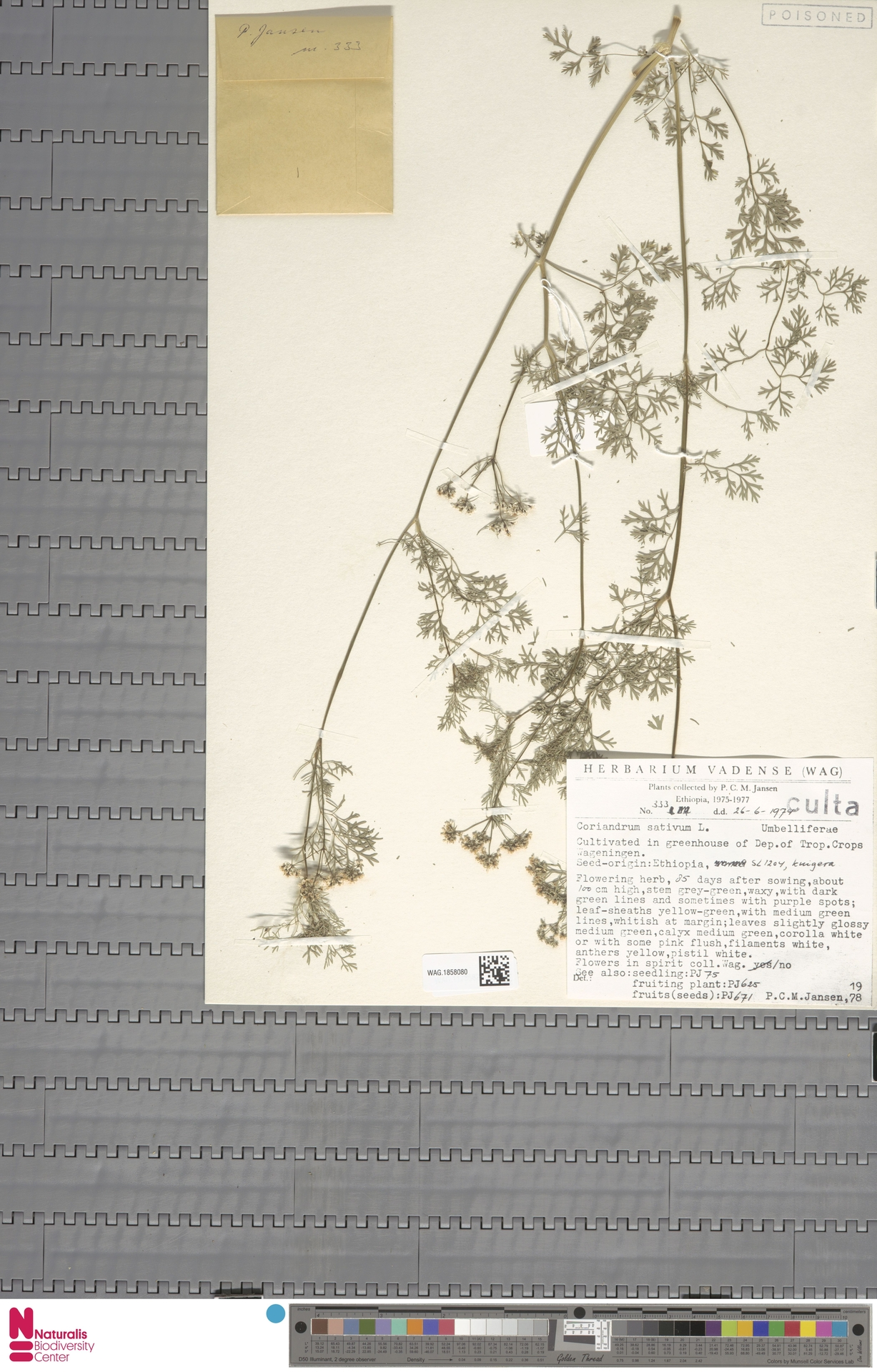 WAG.1858080 | Coriandrum sativum L.