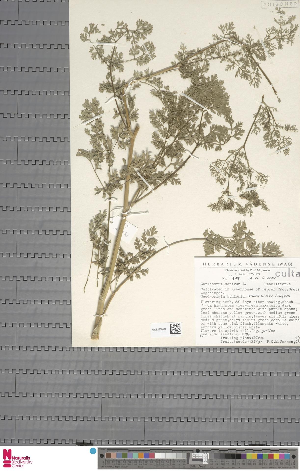 WAG.1858081 | Coriandrum sativum L.